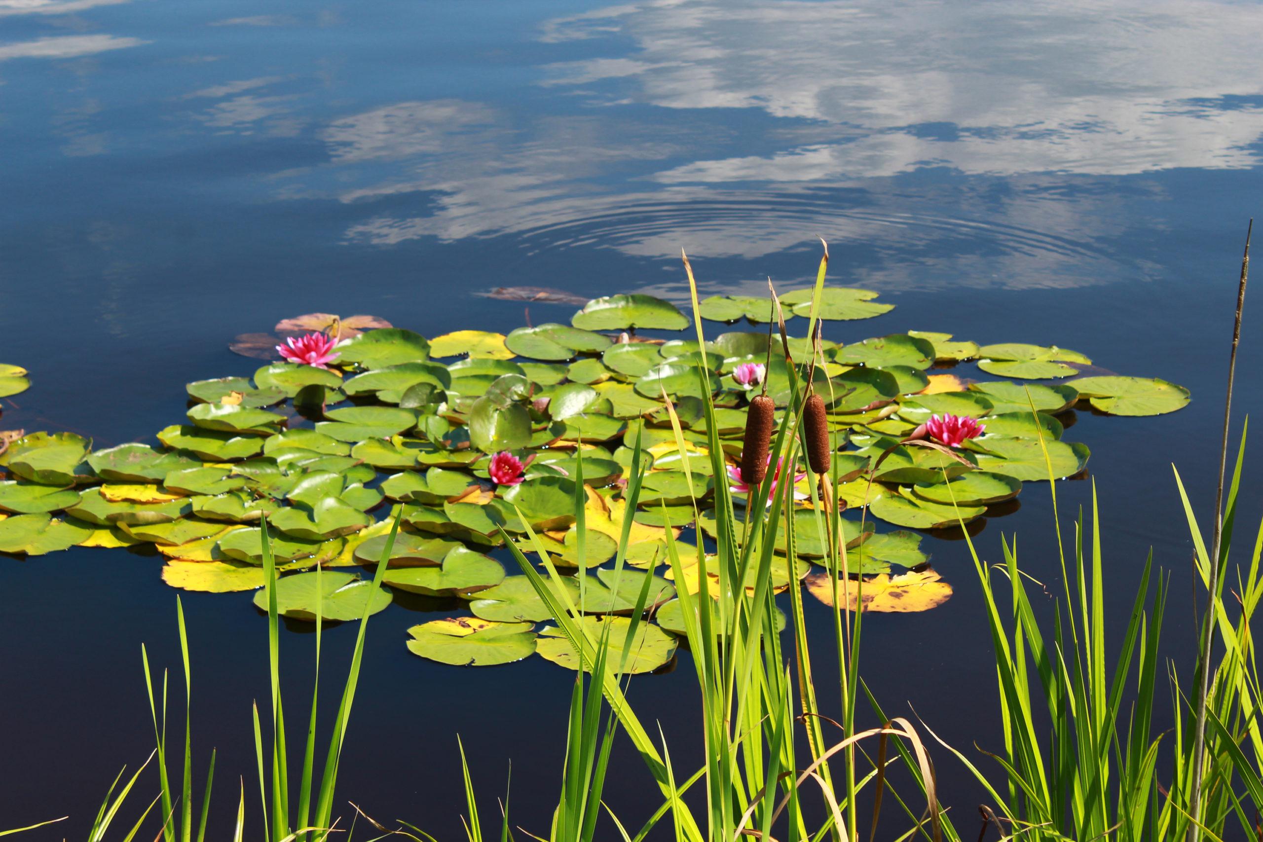 lilie wodne na jeziorze