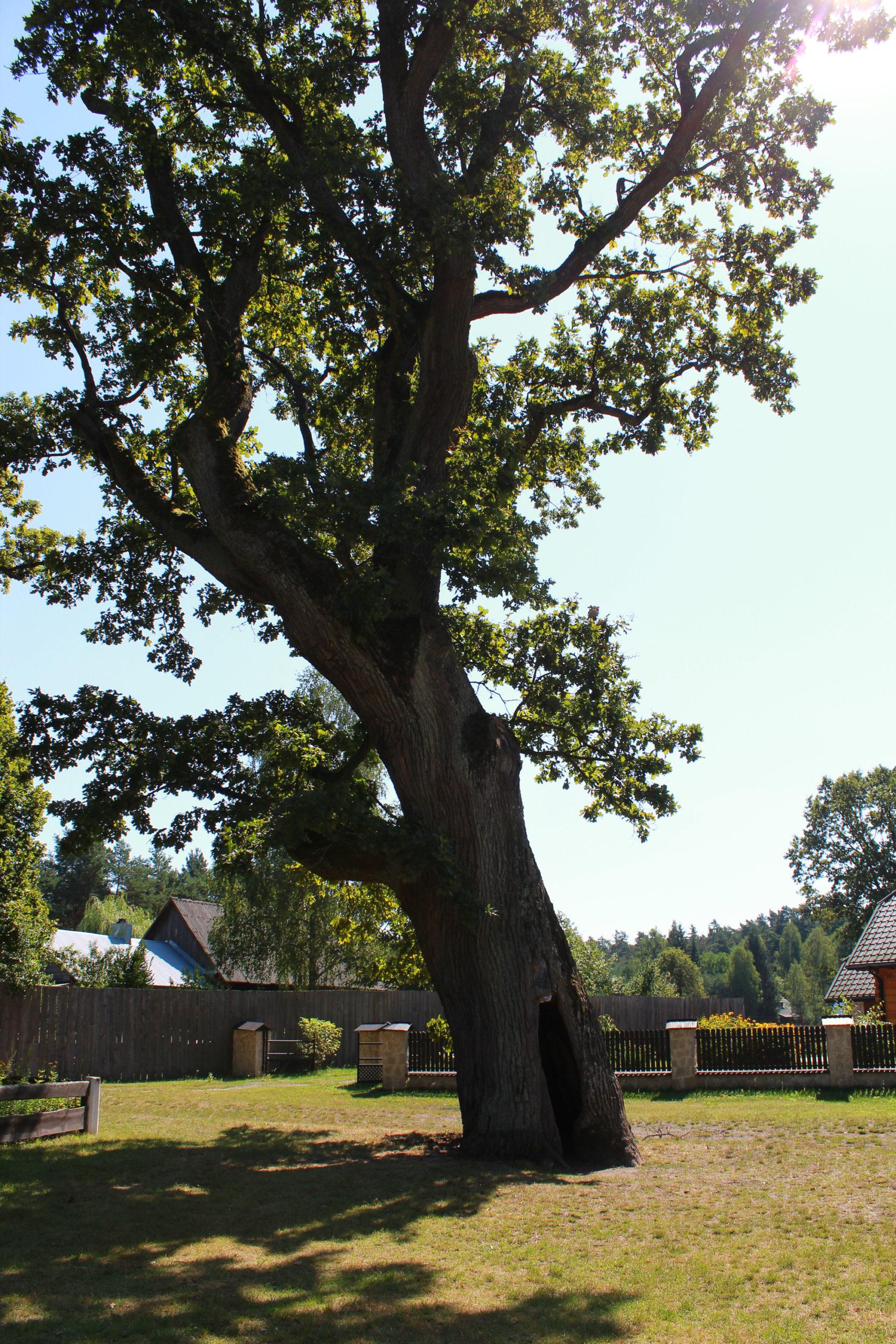 ogromne drzewo