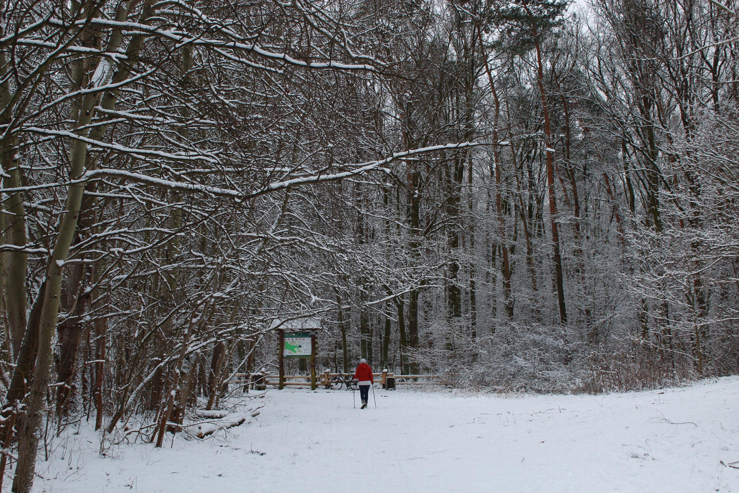 zima w lesie, mała postać na nartach biegowych w głębi lasu
