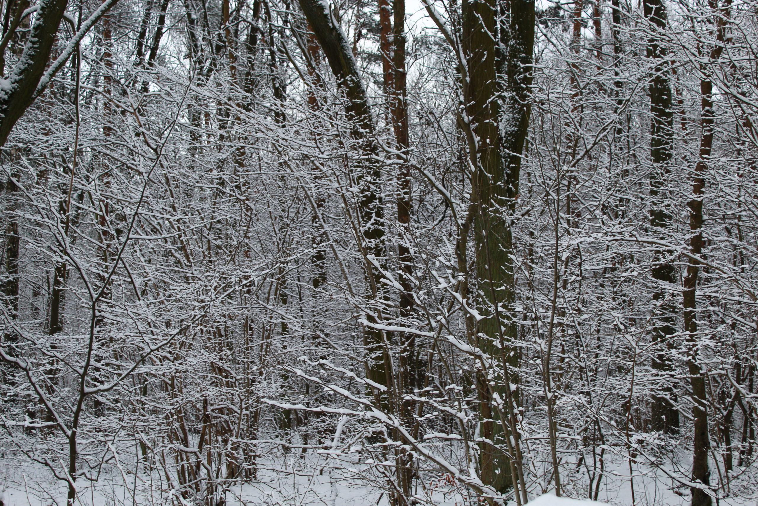 widok na zaśnieżone drzewa