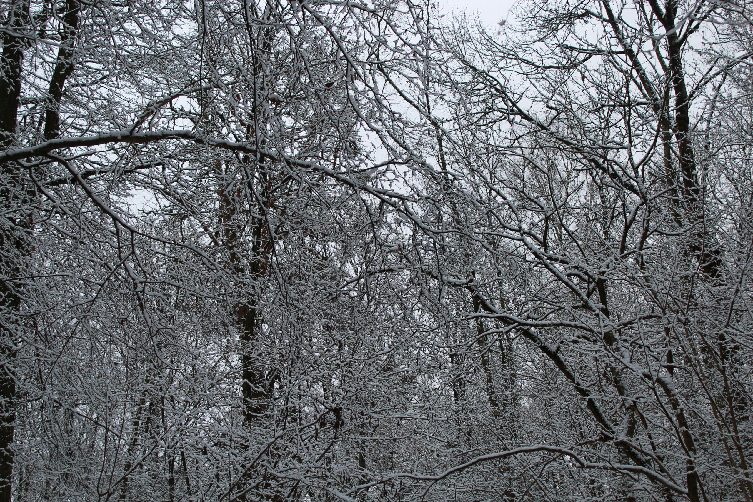 widok na zaśnieżone korony drzew