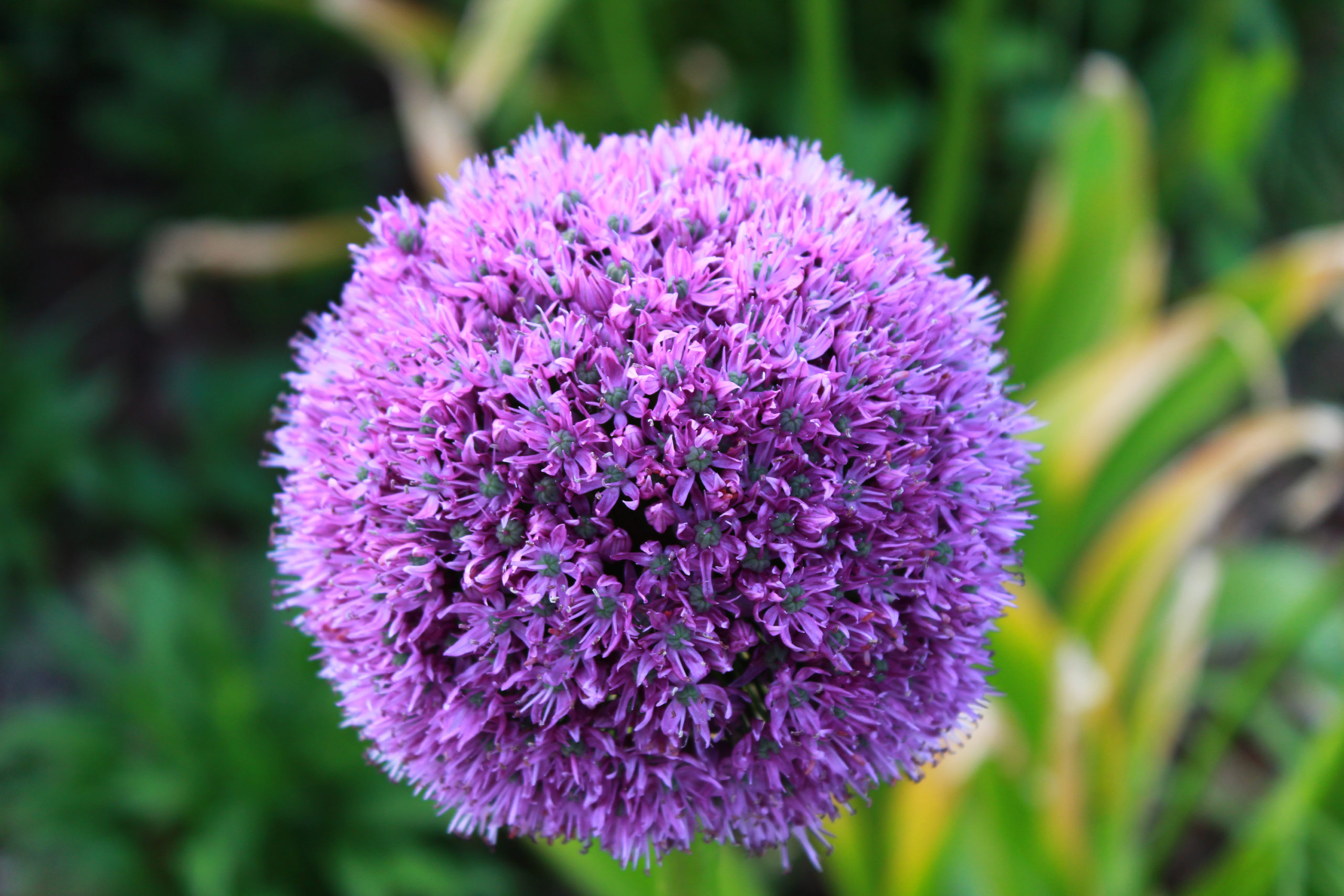 fioletowy kwiat czosnku