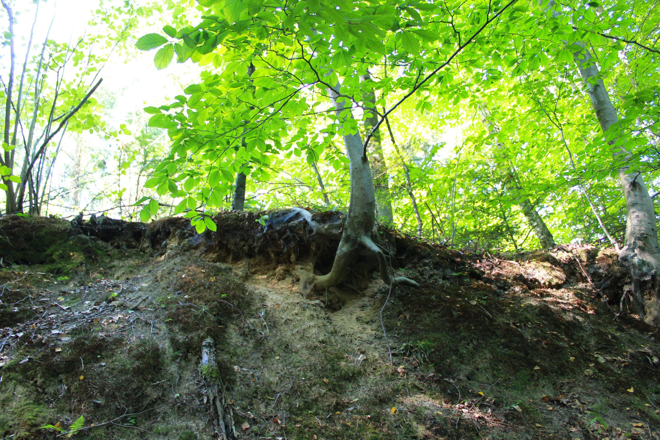 skarpa w lesie