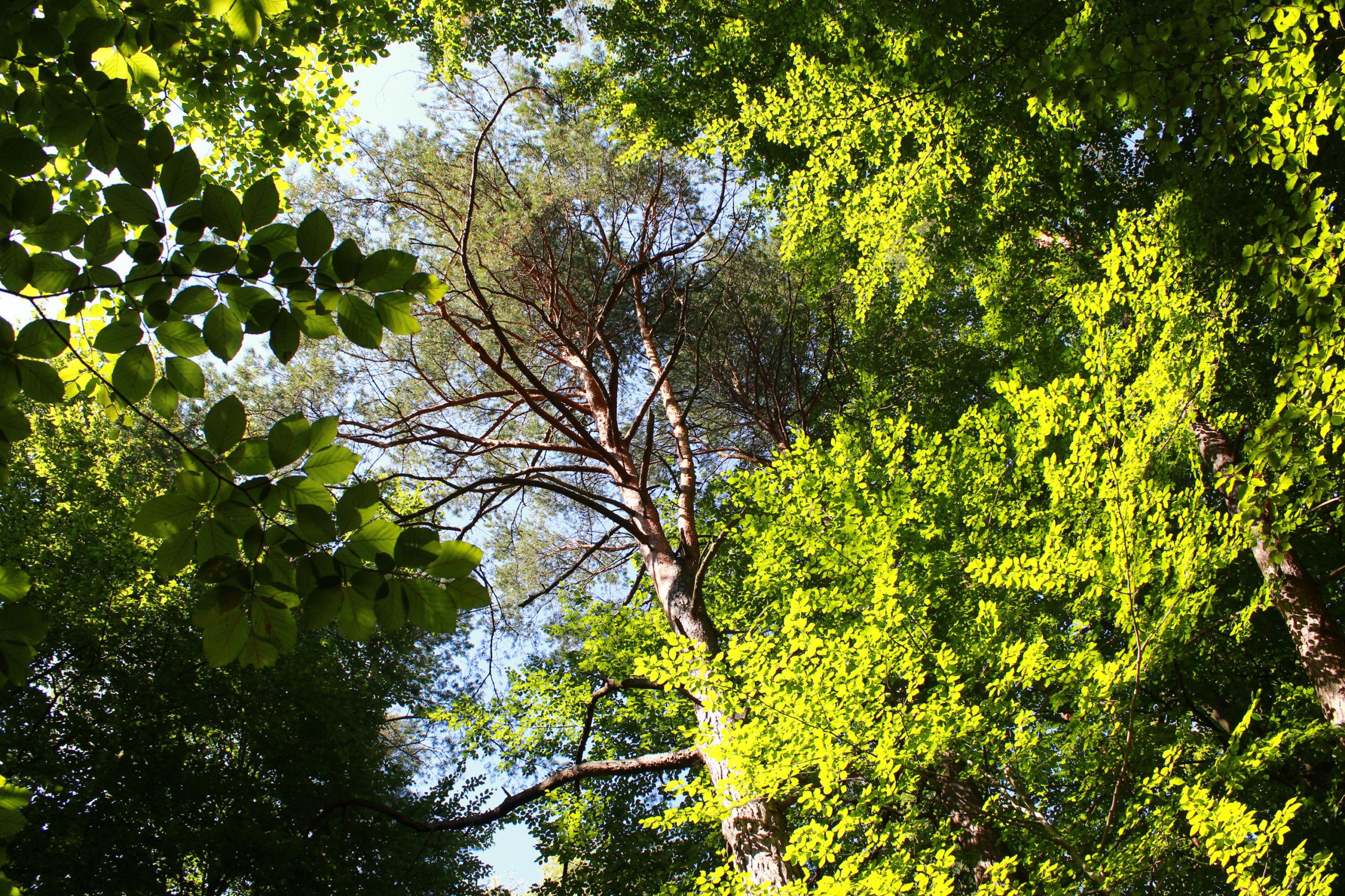 widok na koronę drzewa w lesie