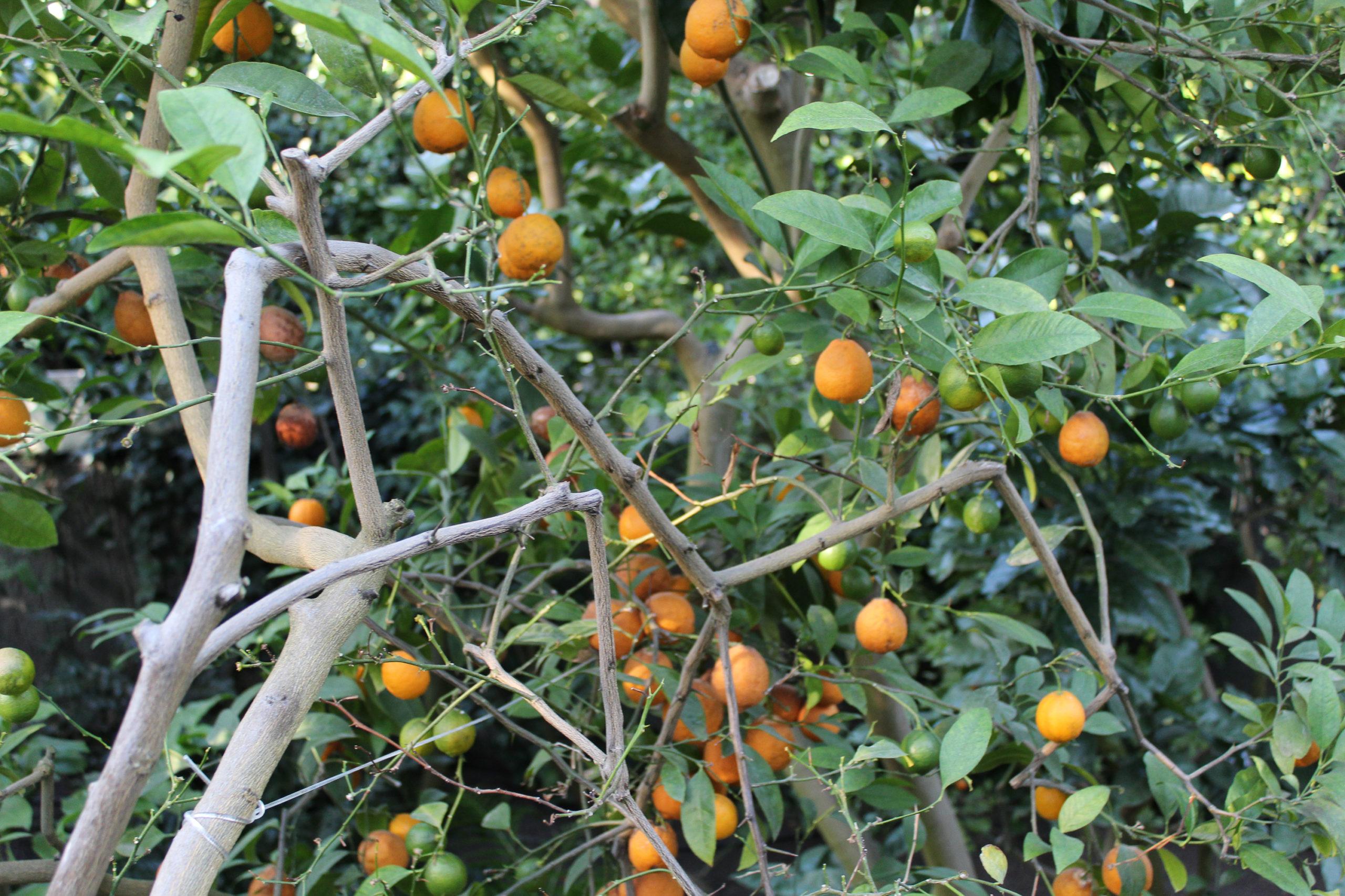 Owoce na drzewie