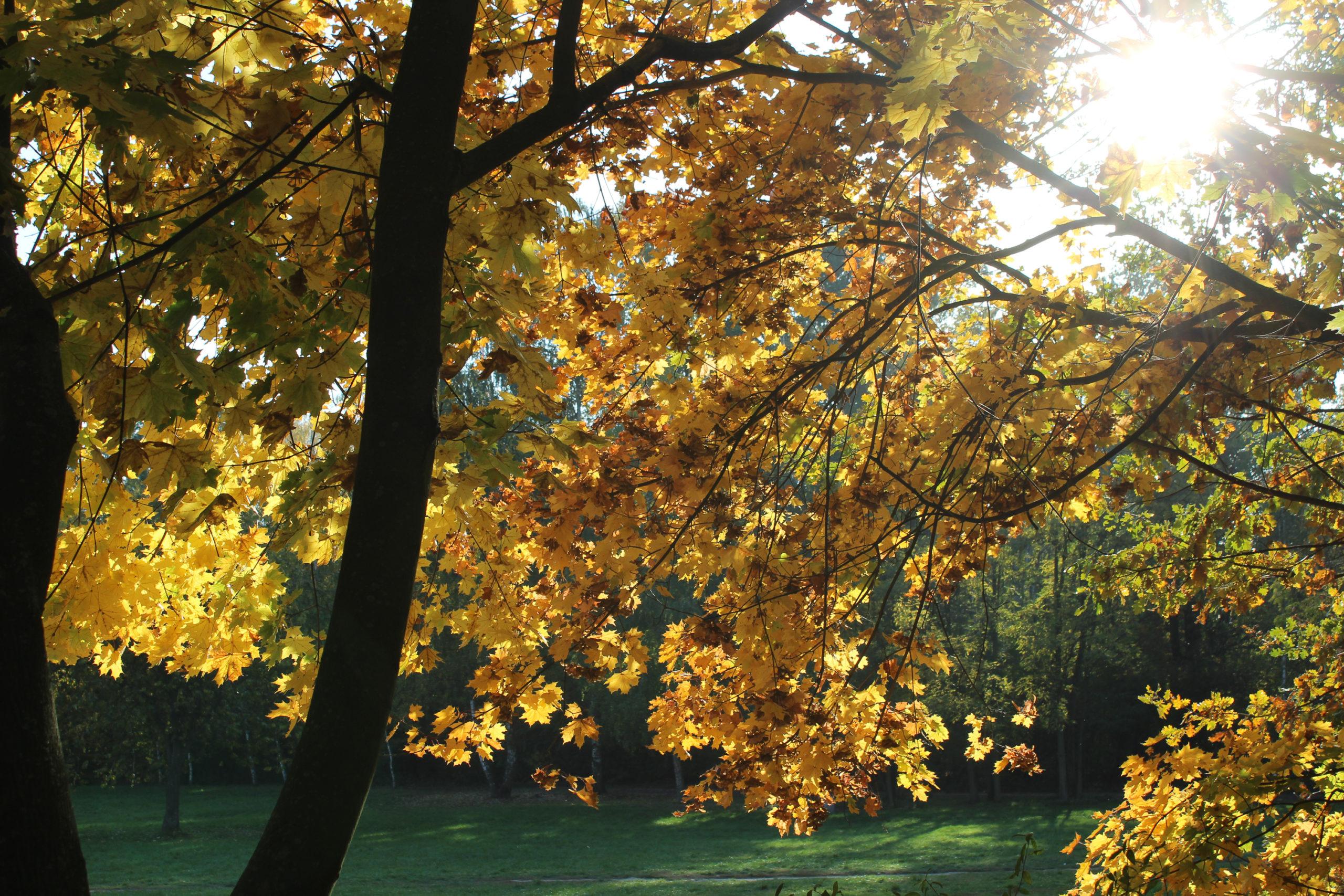 Żółta Korona drzewa