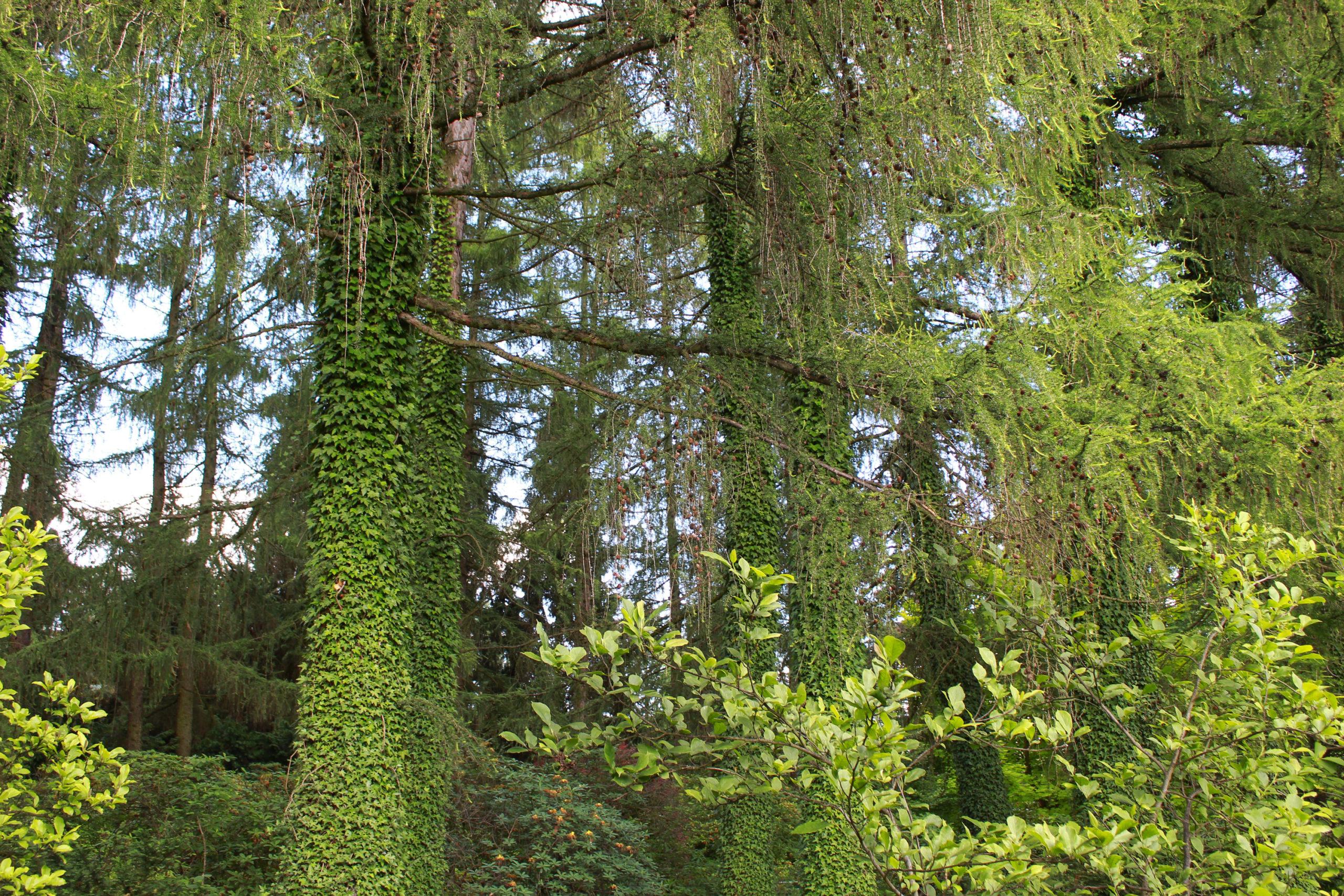 Drzewa obrośnięta bluszczem