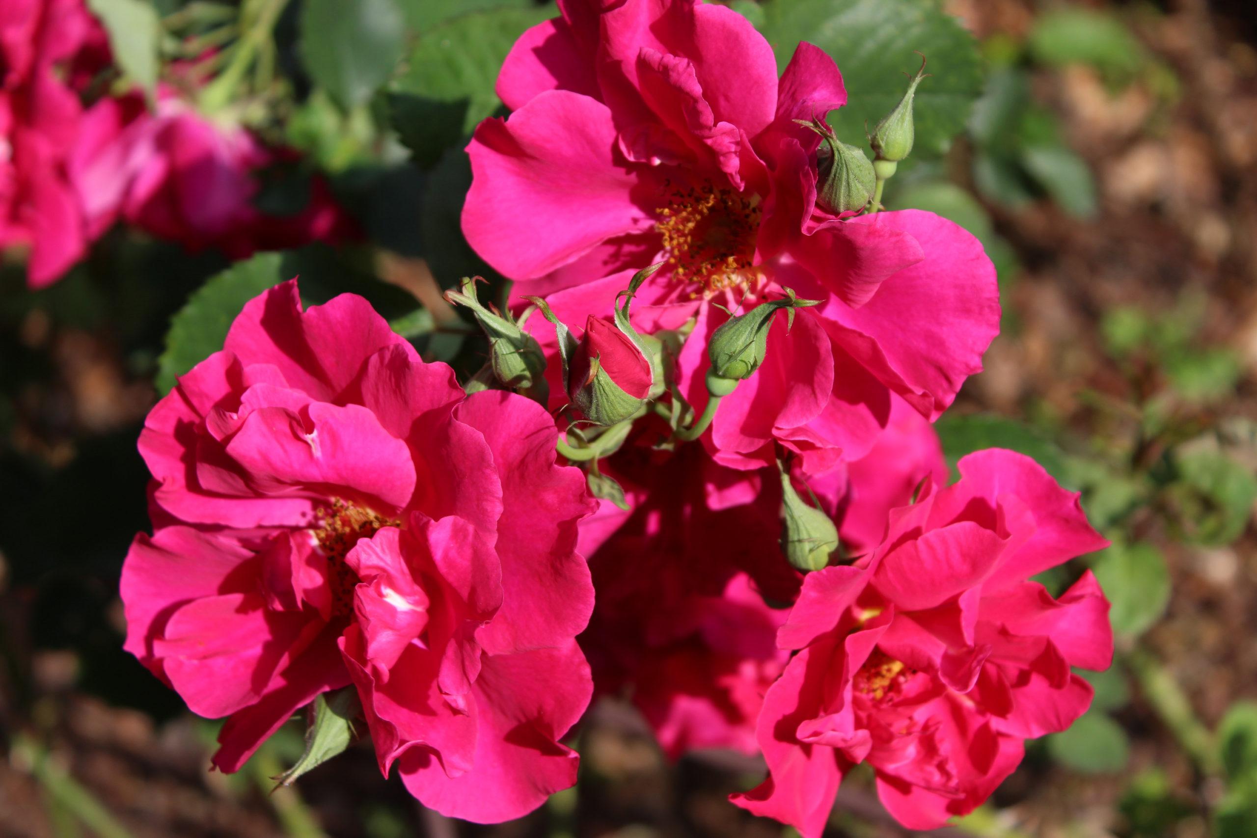 Czerwone kwiaty róży