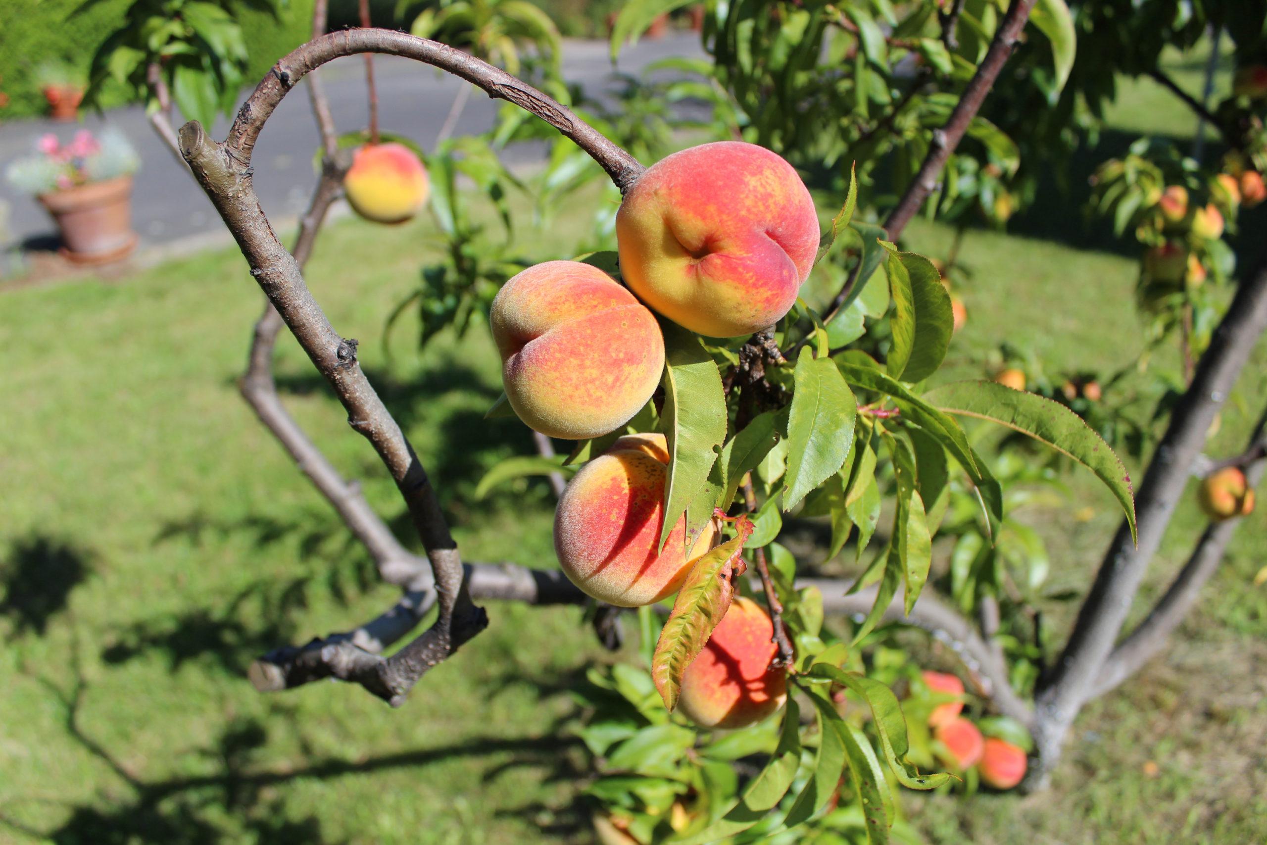brzoskwinie na drzewie