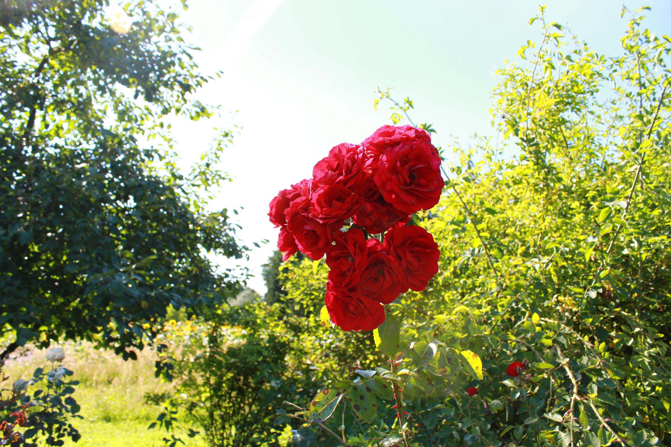 róże na krzaku