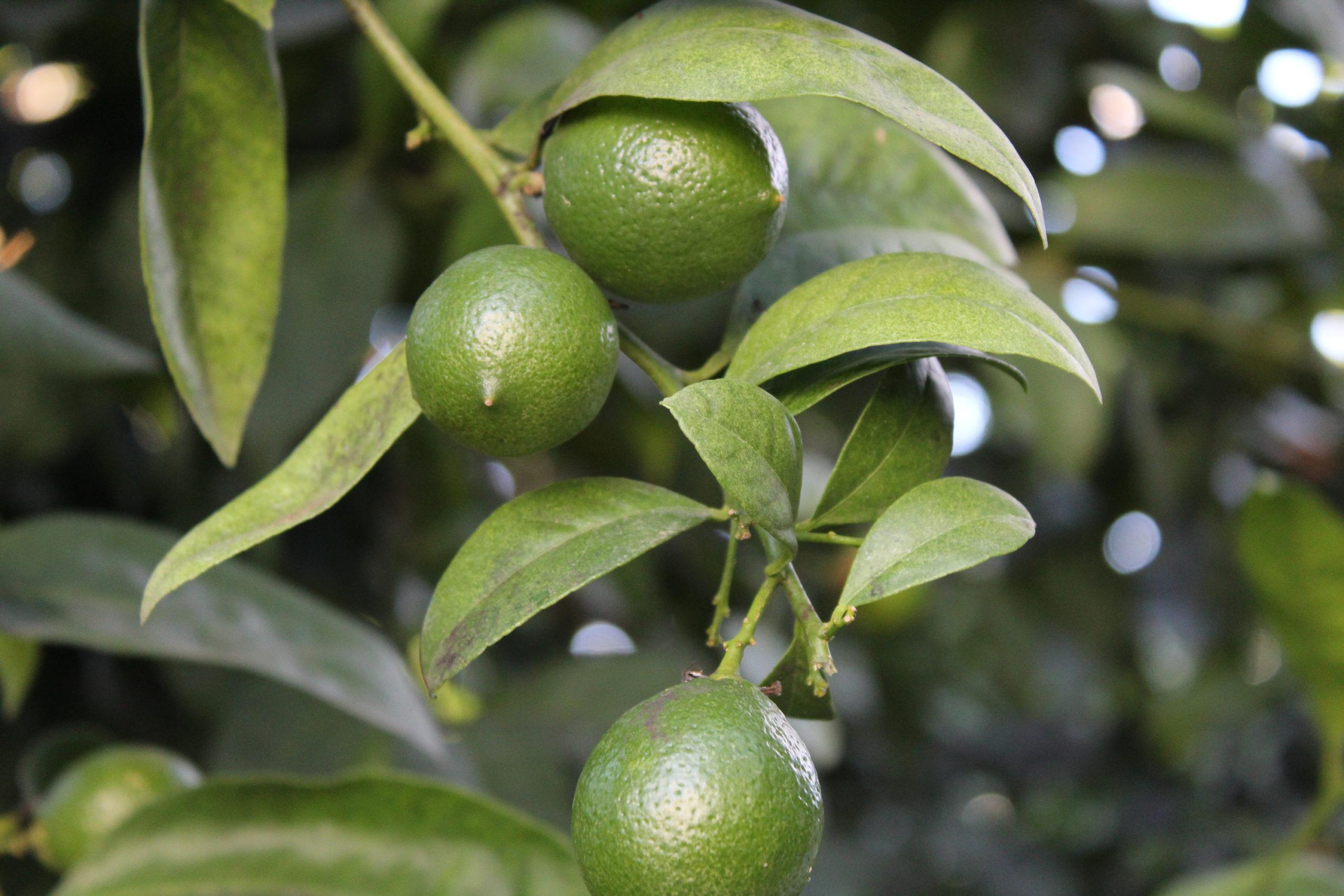 limonka na drzewie