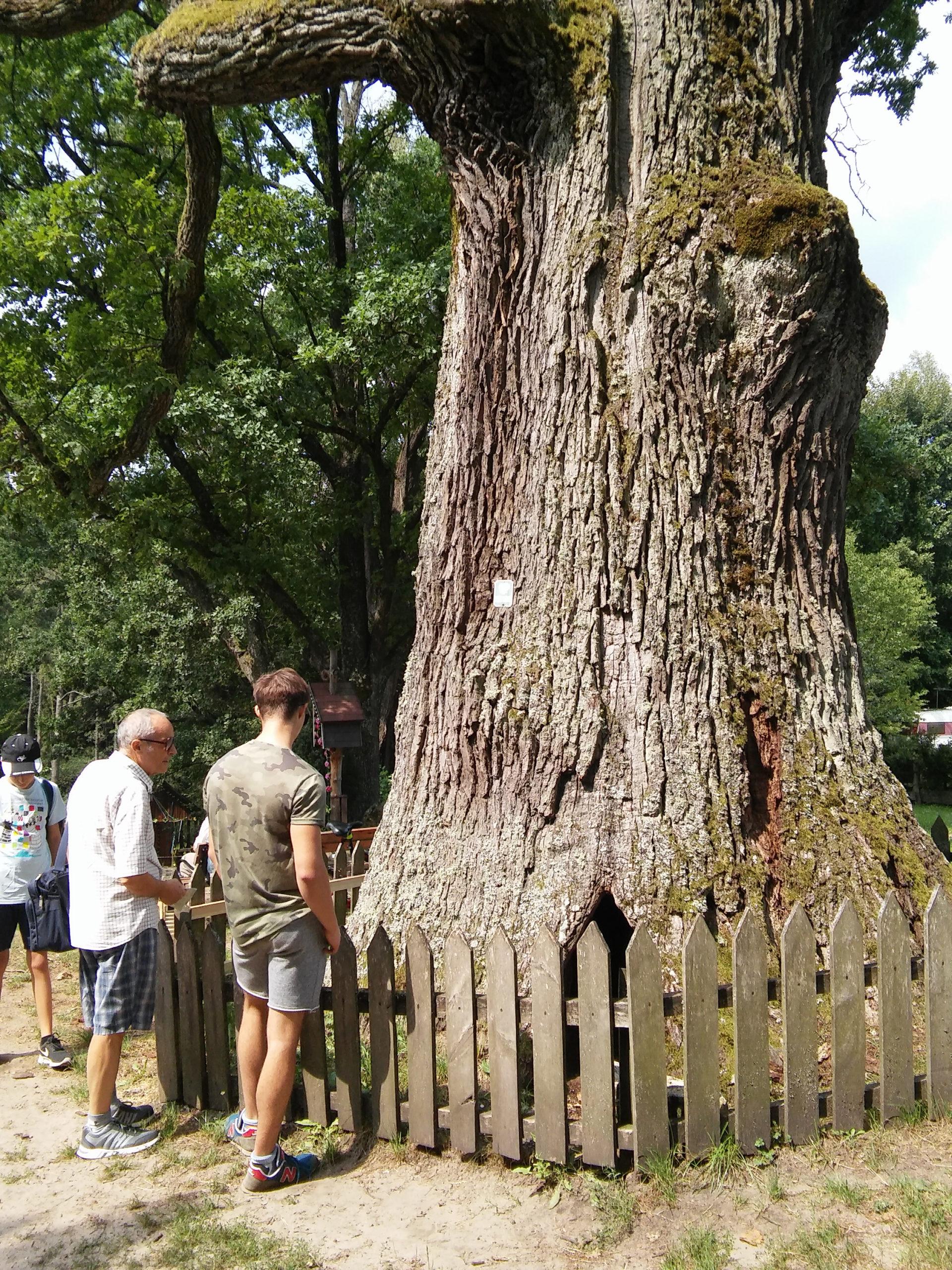 Drzewo pomnik przyrody