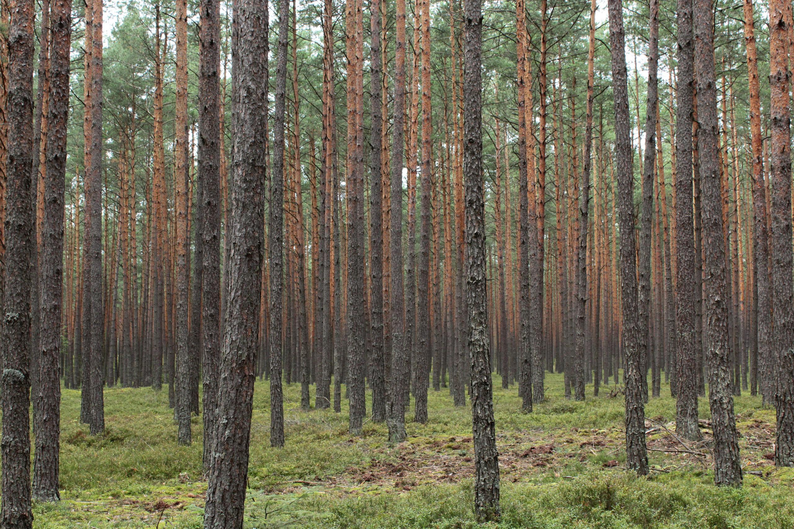 Las Sosnowy