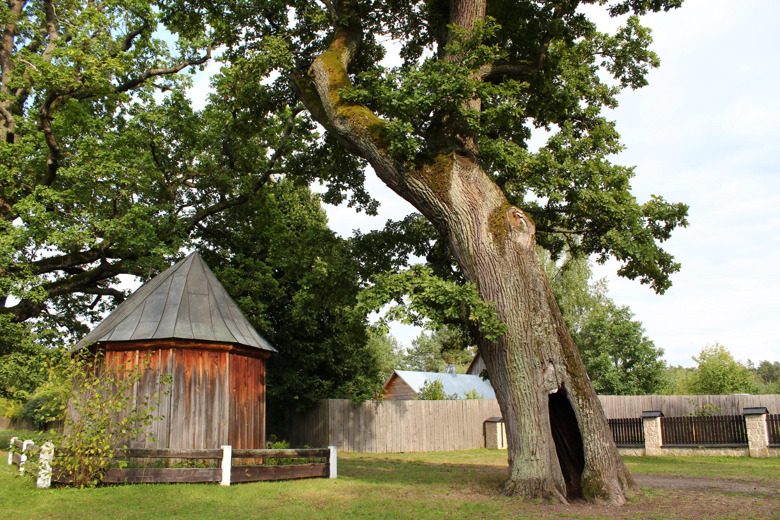 Ogromne drzewo i Drewniana Kaplica