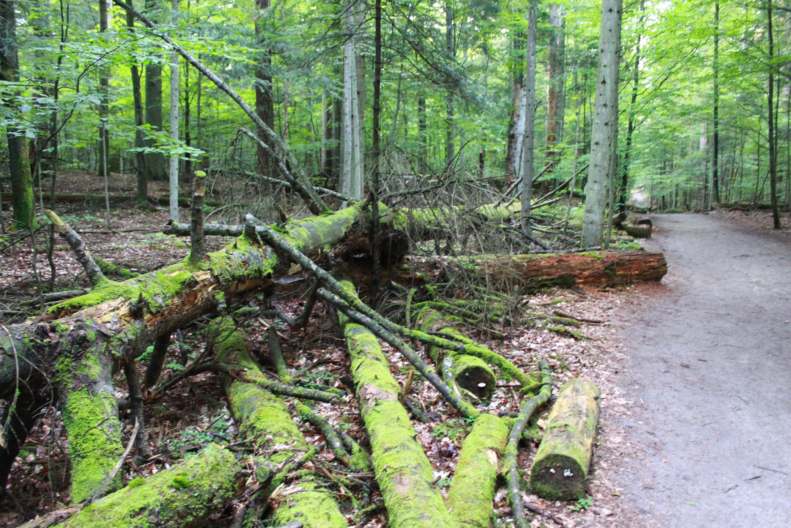 obalone pnie drzew