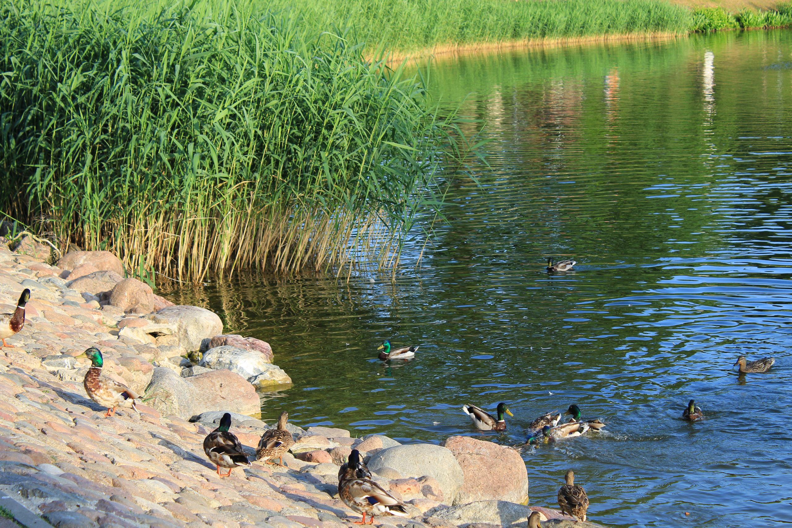 Kaczki na brzegu i w wodzie