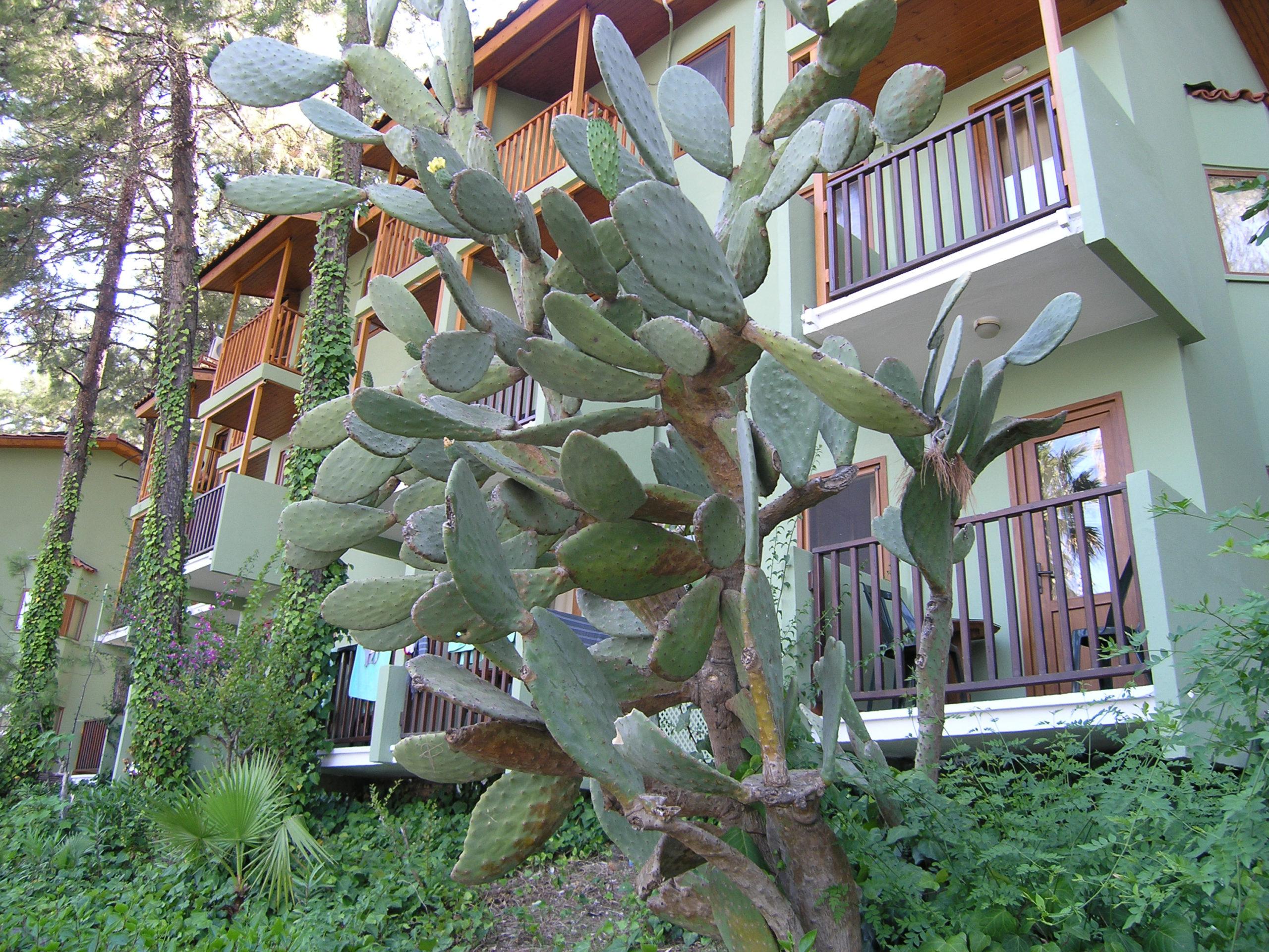 Olbrzymi Kaktus