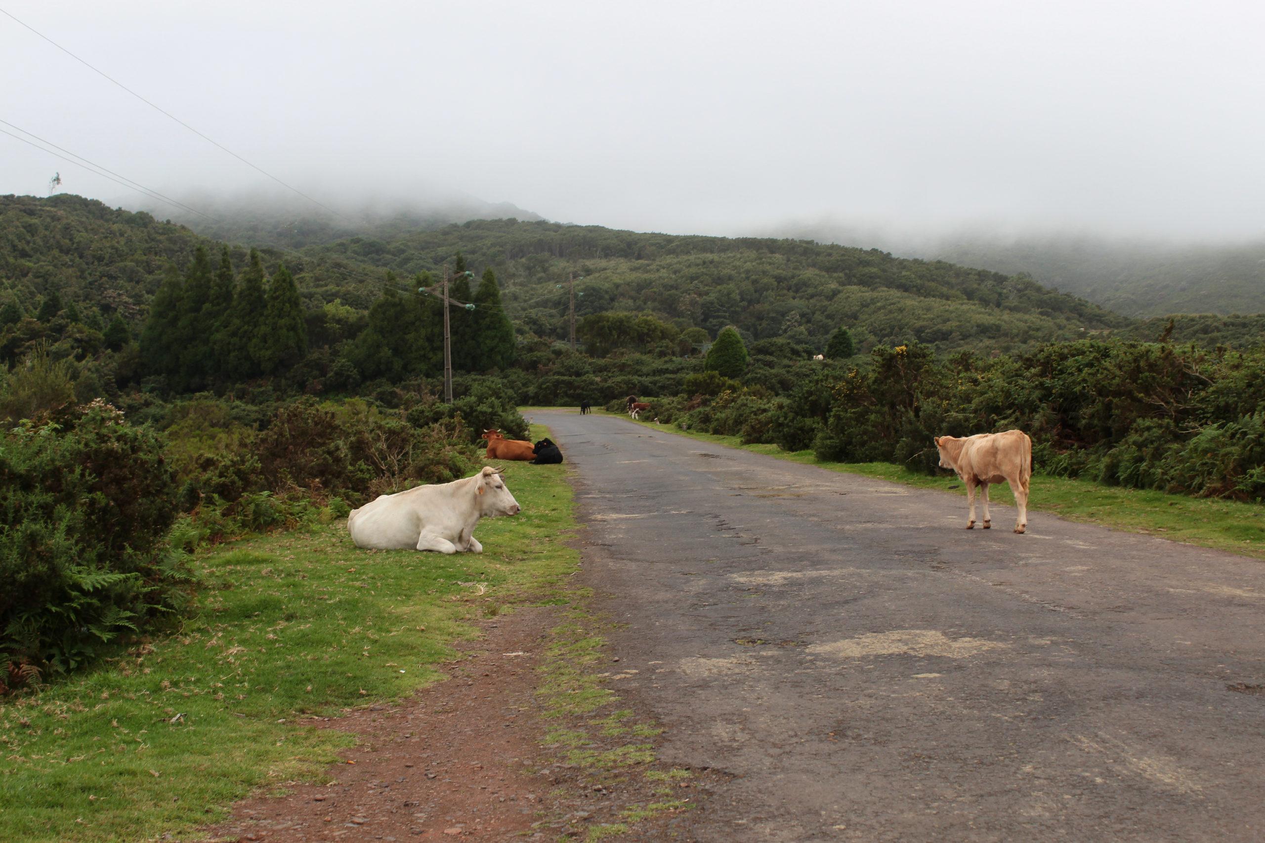 madera krowy przy drodze