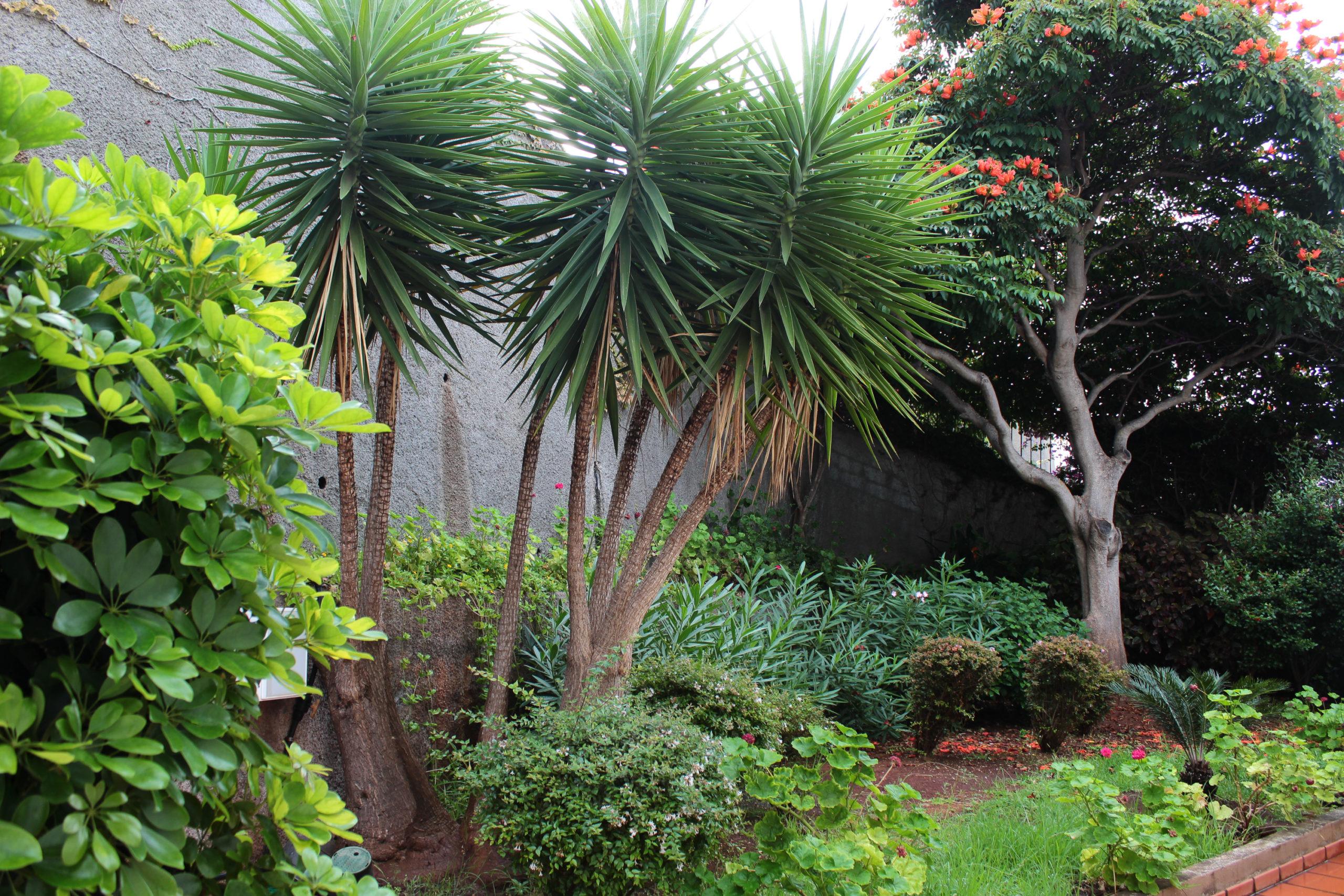 madera palmy w ogrodzie