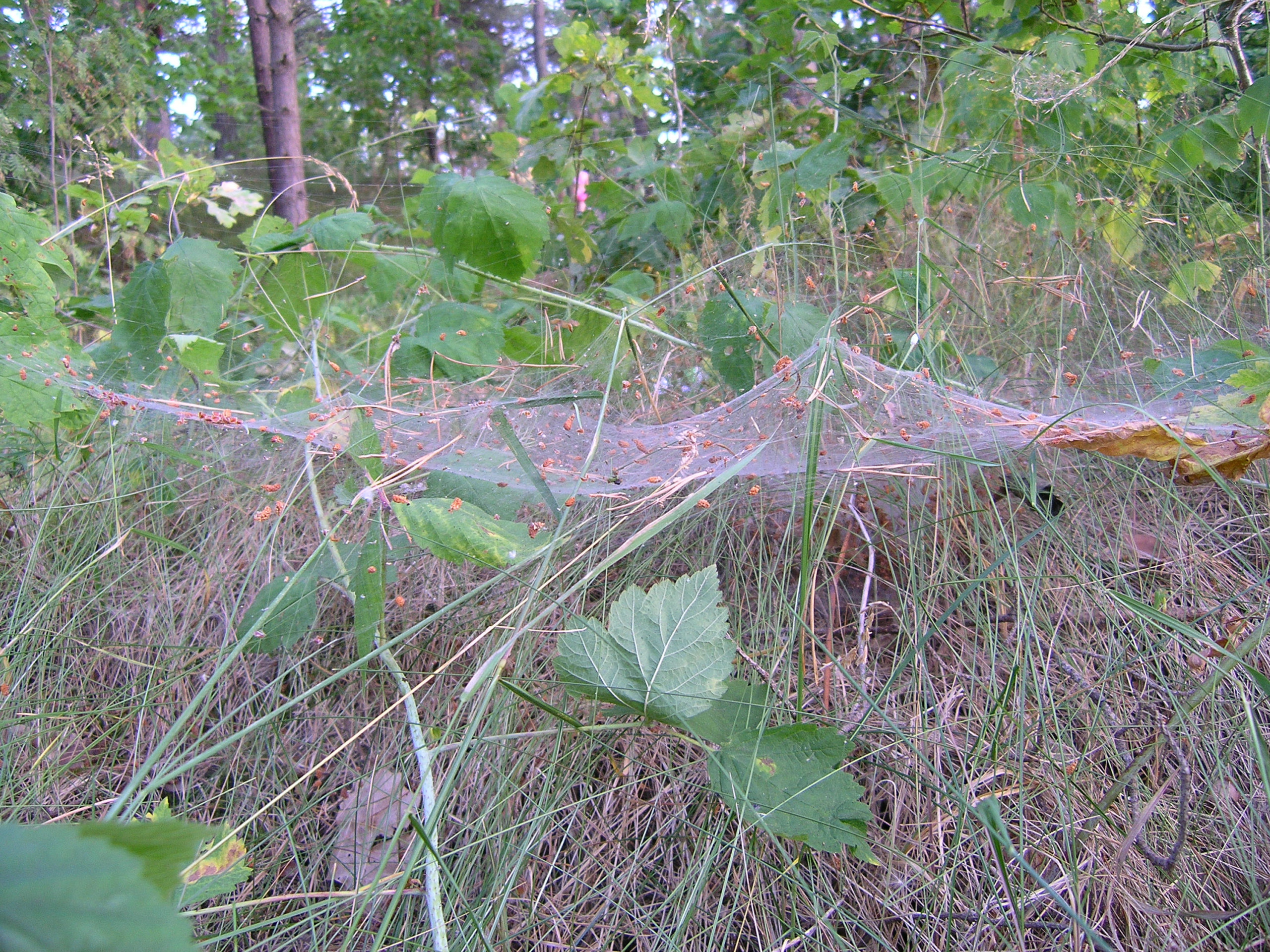 Łeba pajęczyna przy ziemi