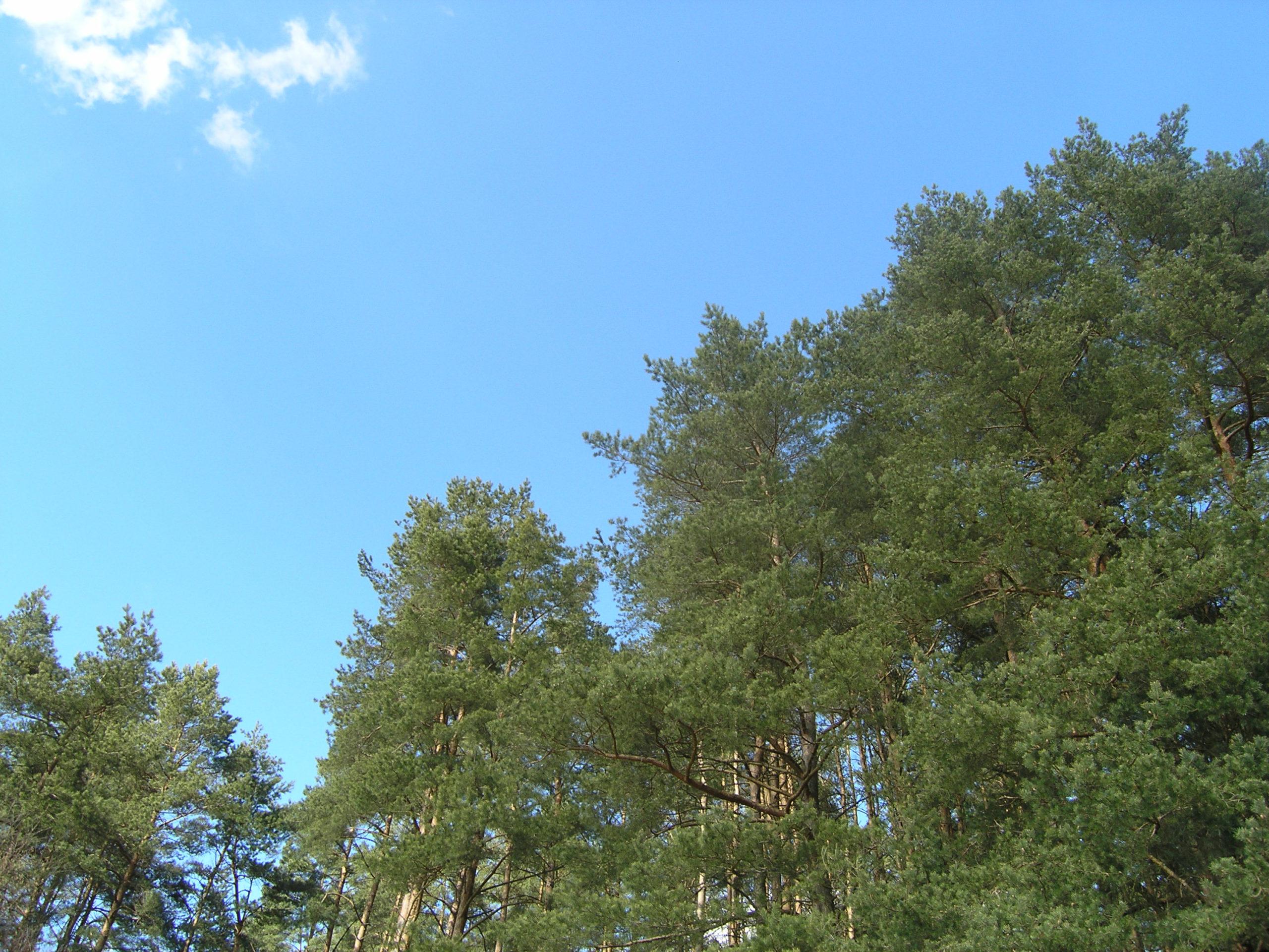 okuninka widok na korony drzew