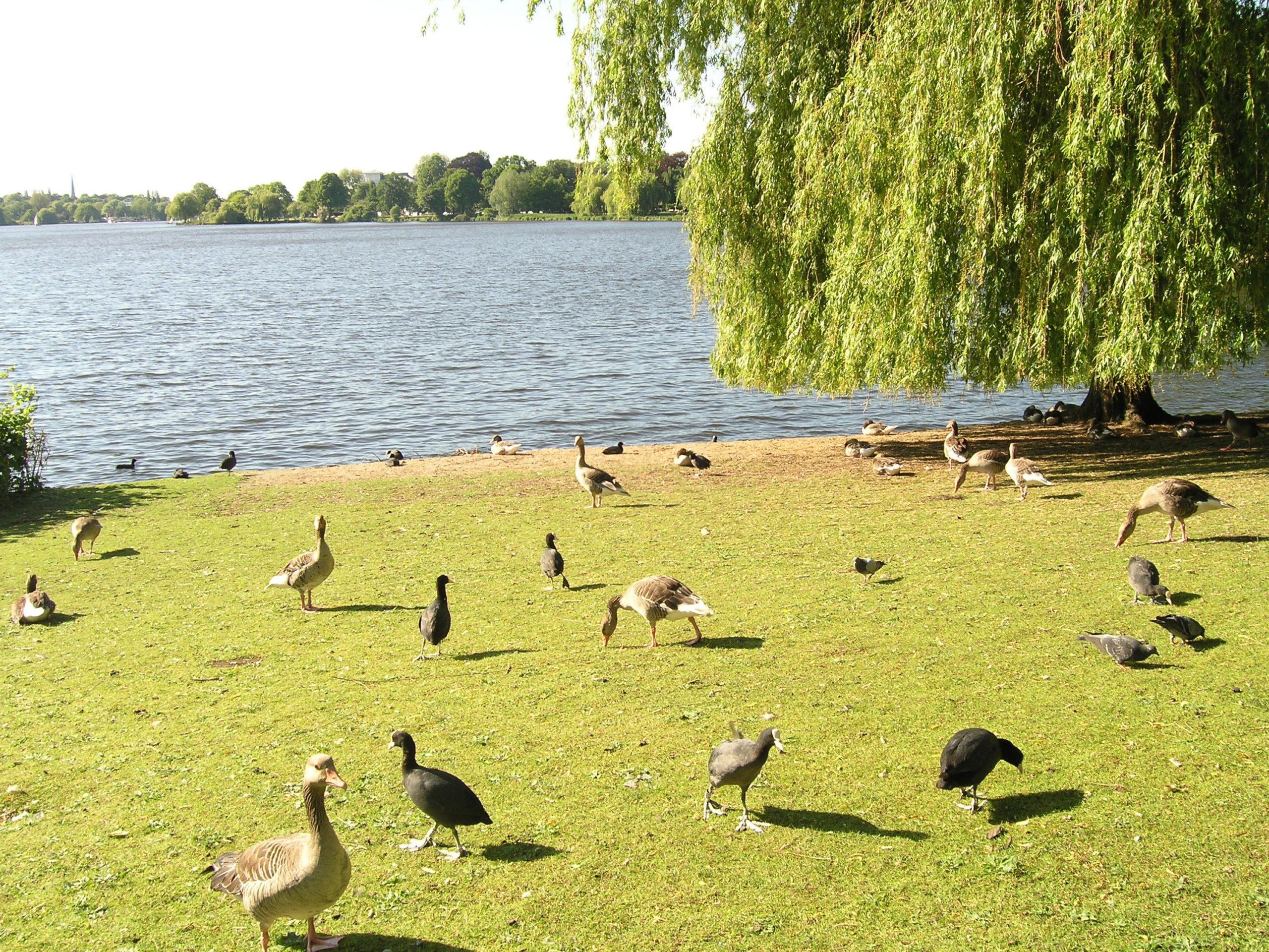 hamburg kaczki nad wodą