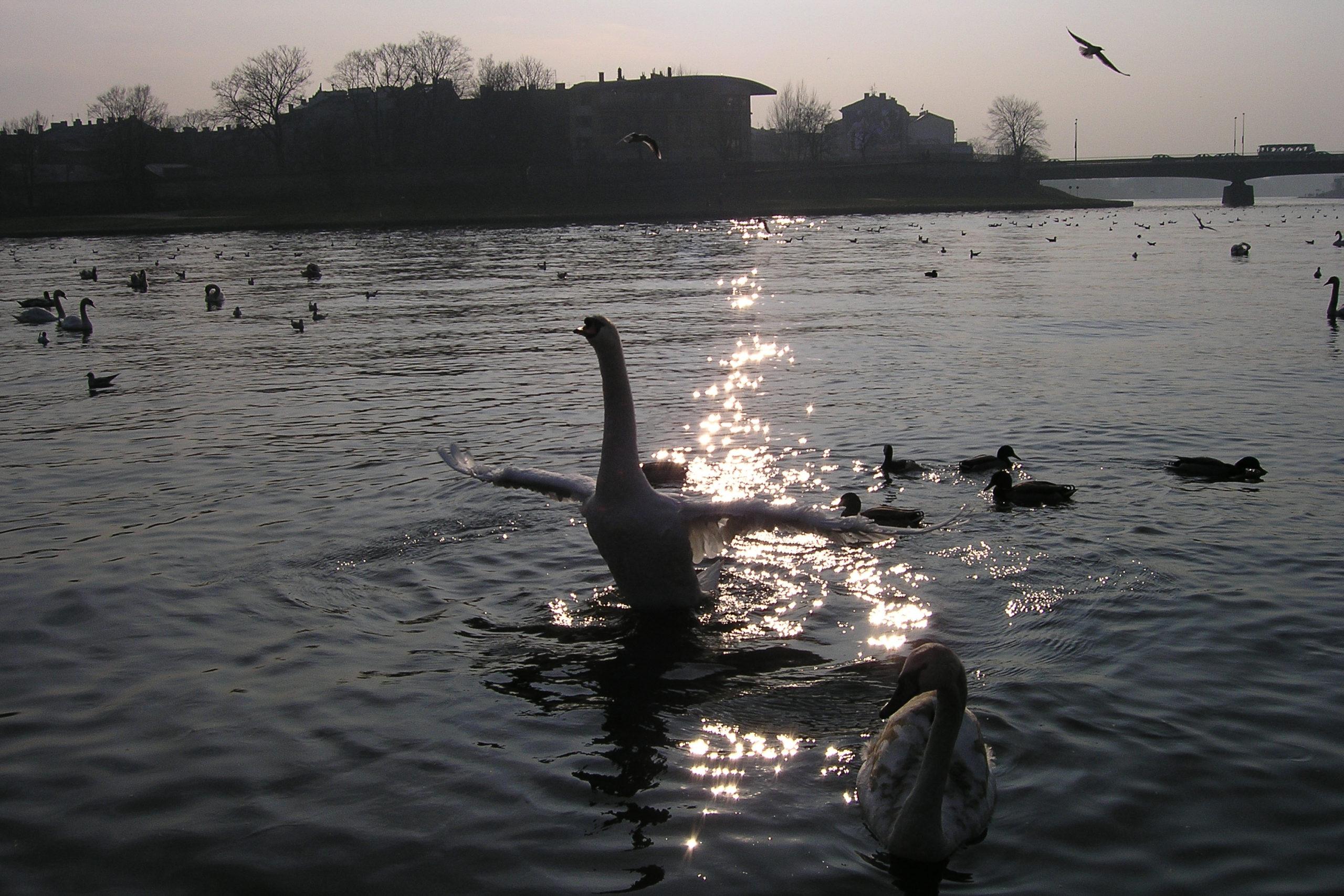Kraków łabędzie