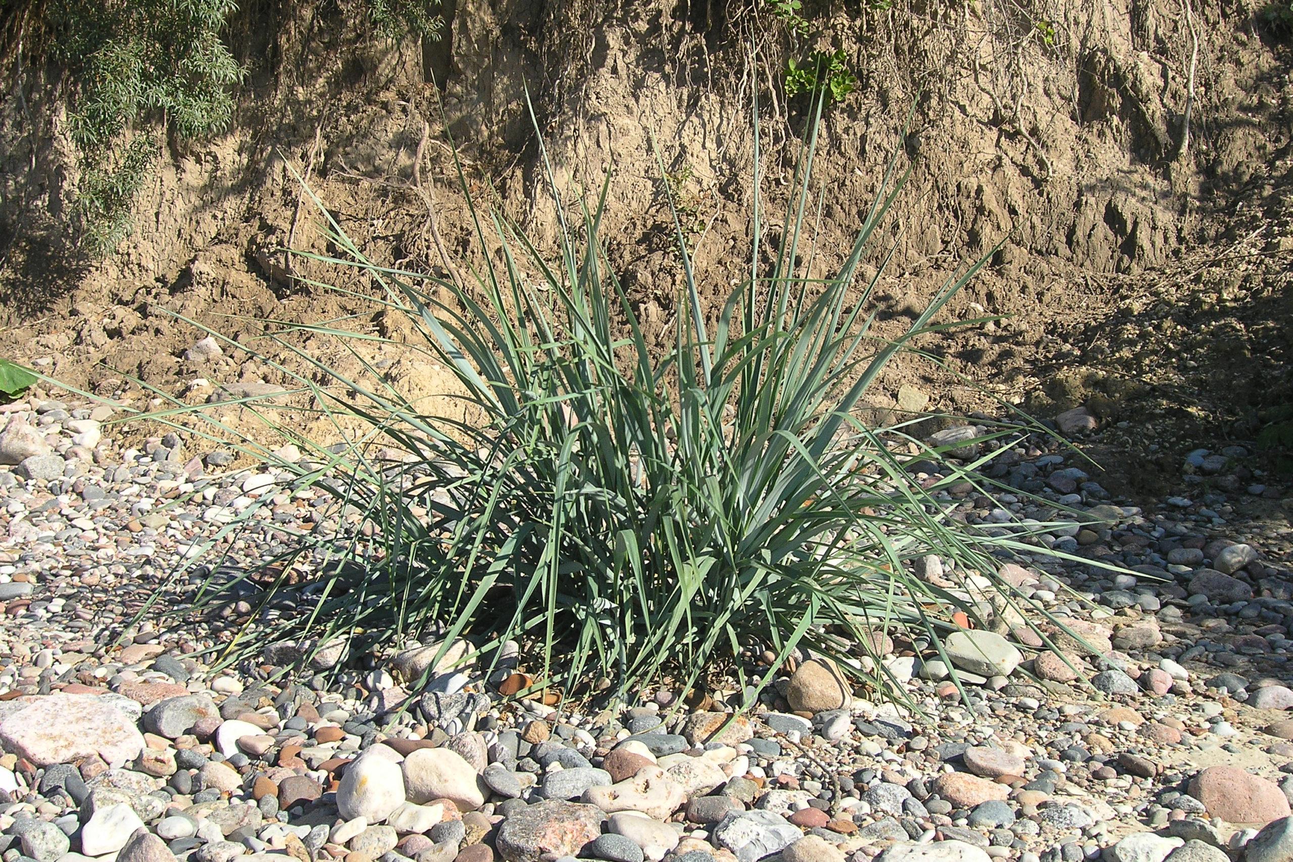 Międzyzdroje roślina na plaży