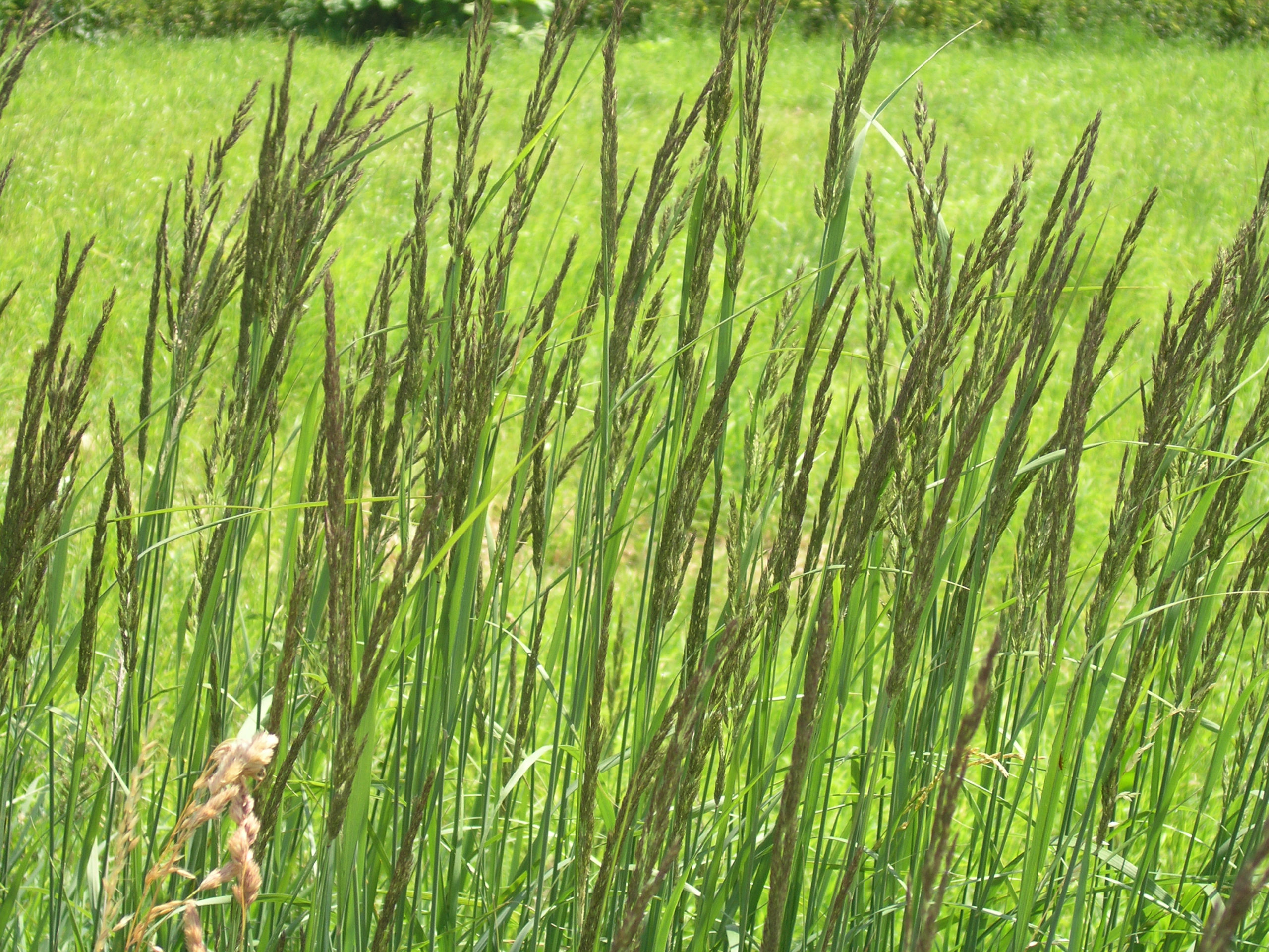 kożyczkowo trawa