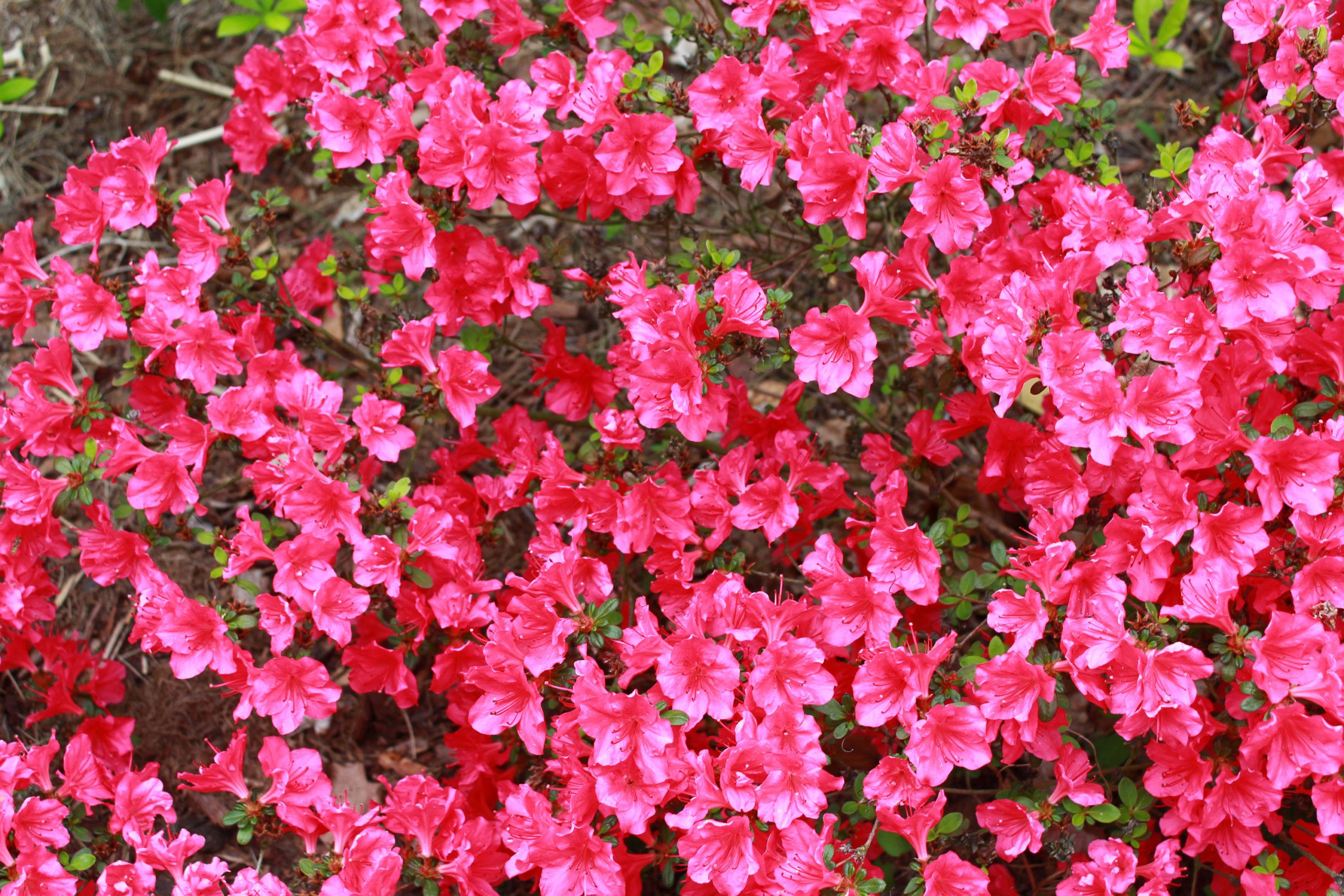 dużo czerwonych kwiatków
