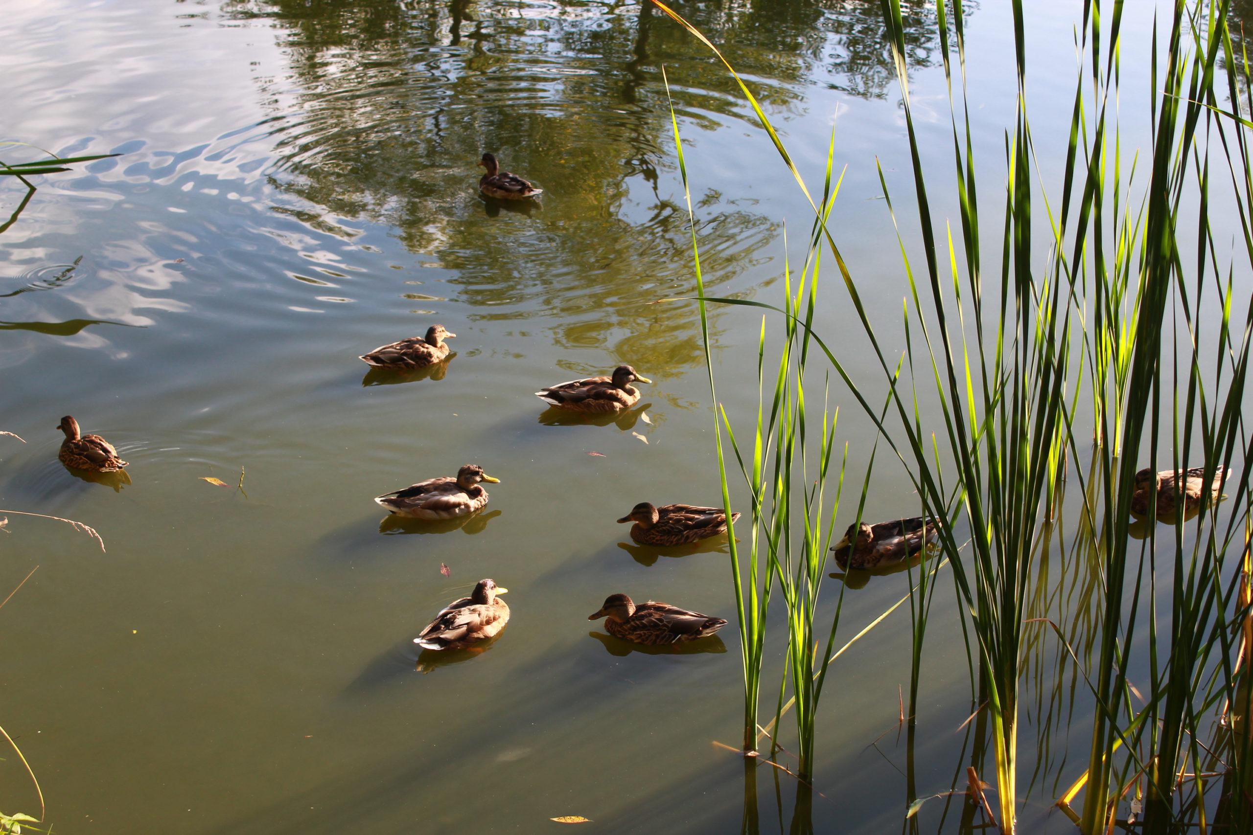 kaczki na wodzie
