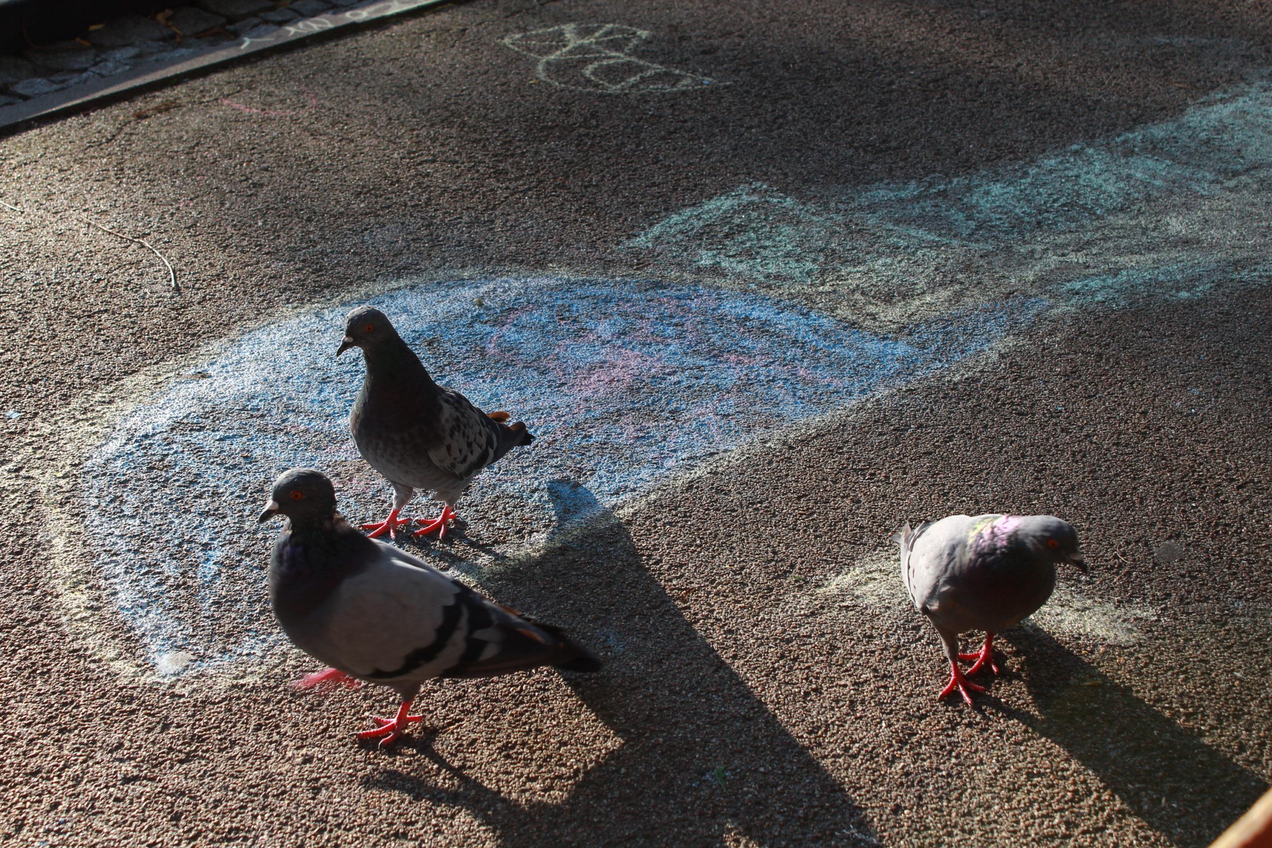 gołębie na asfalcie