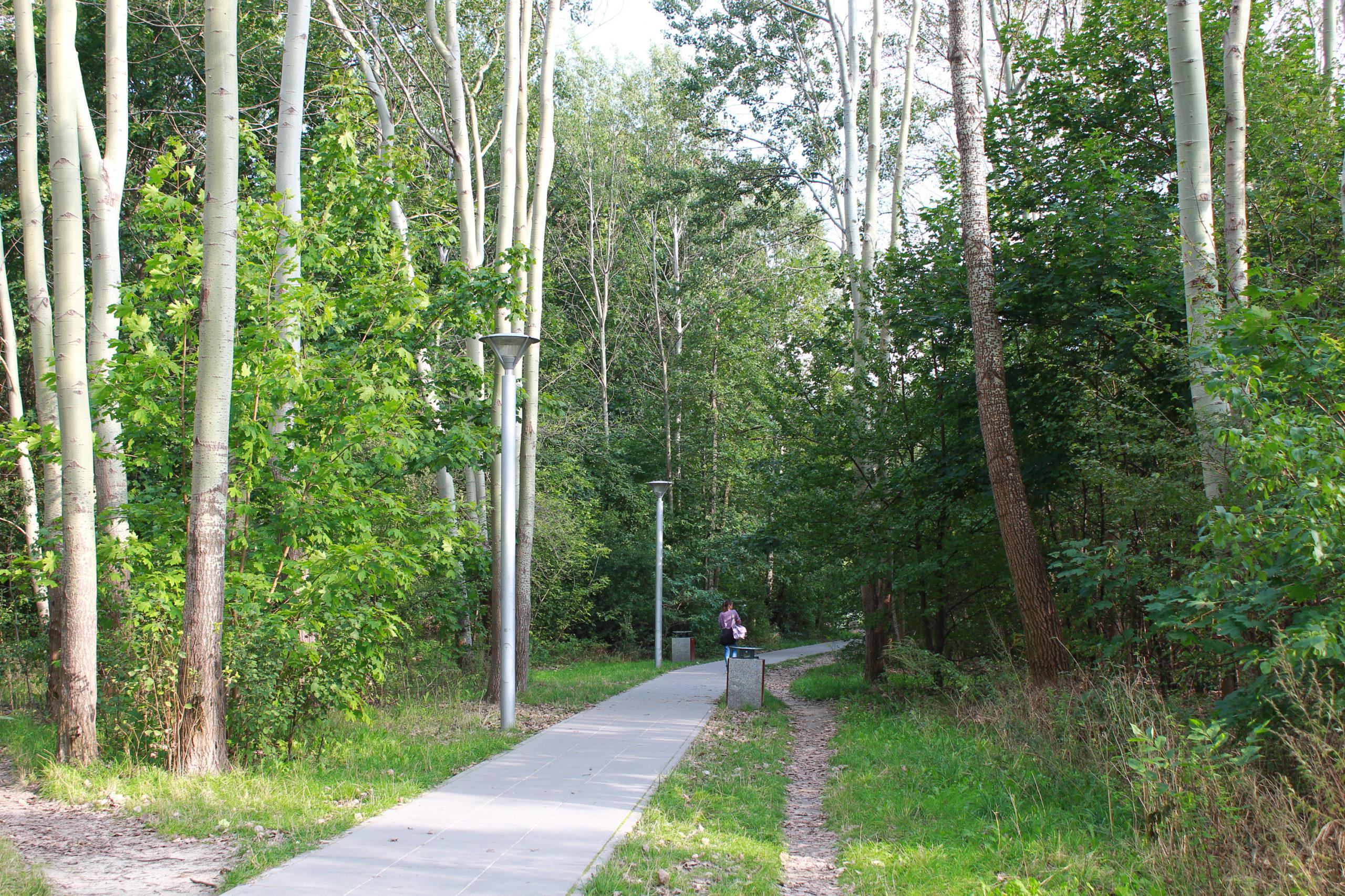 ścieżka wśród wysokich drzew