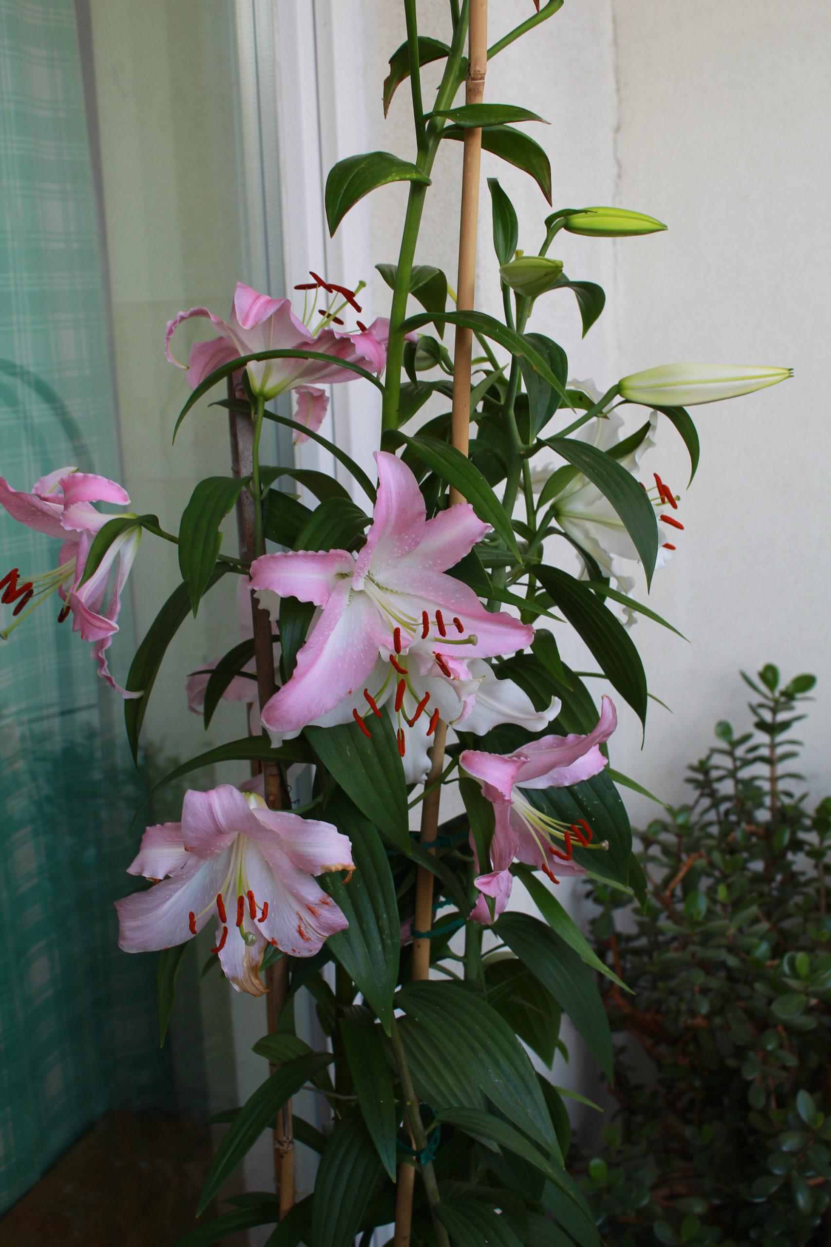lilia na balkonie