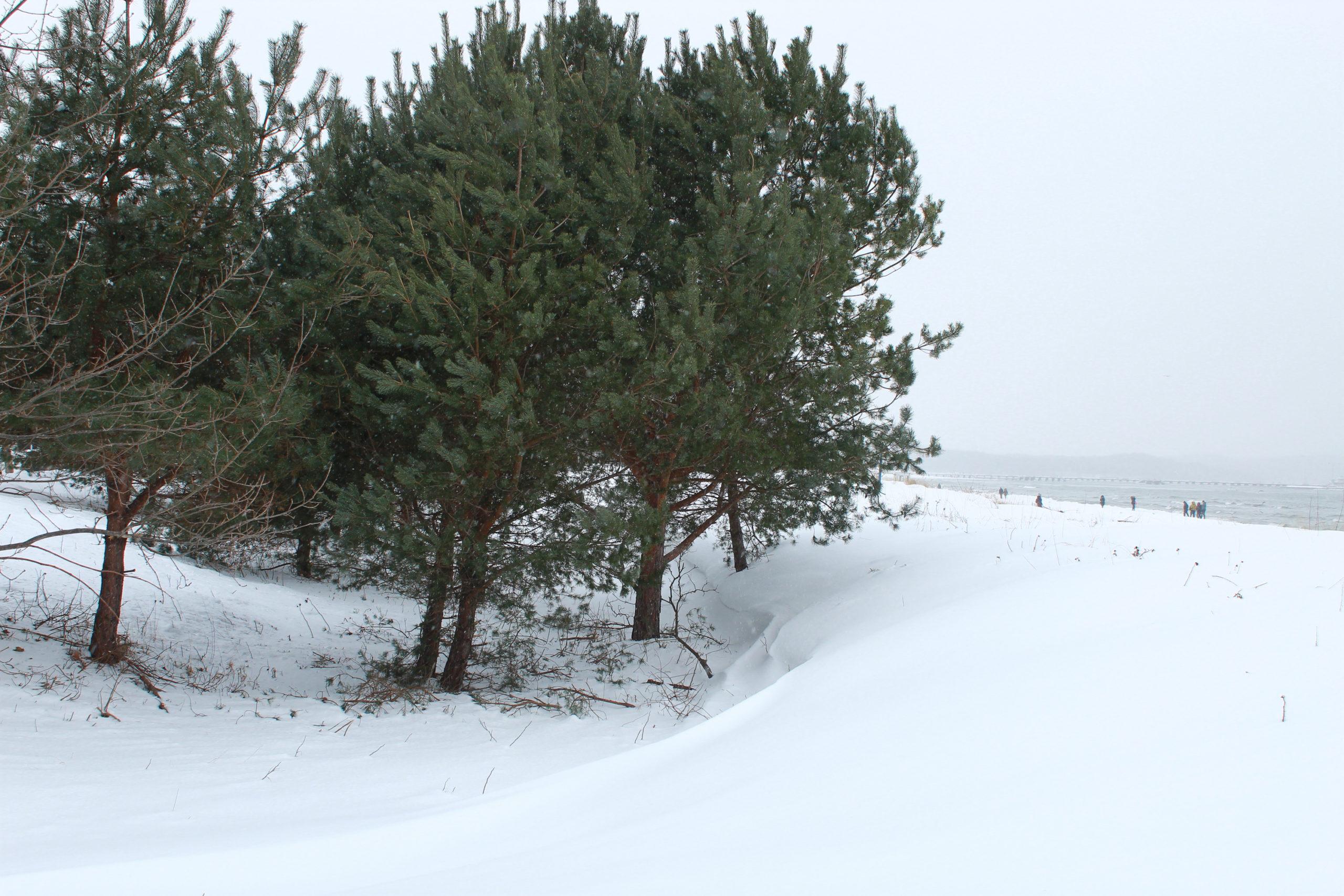 sosny na zaśnieżonej plaży