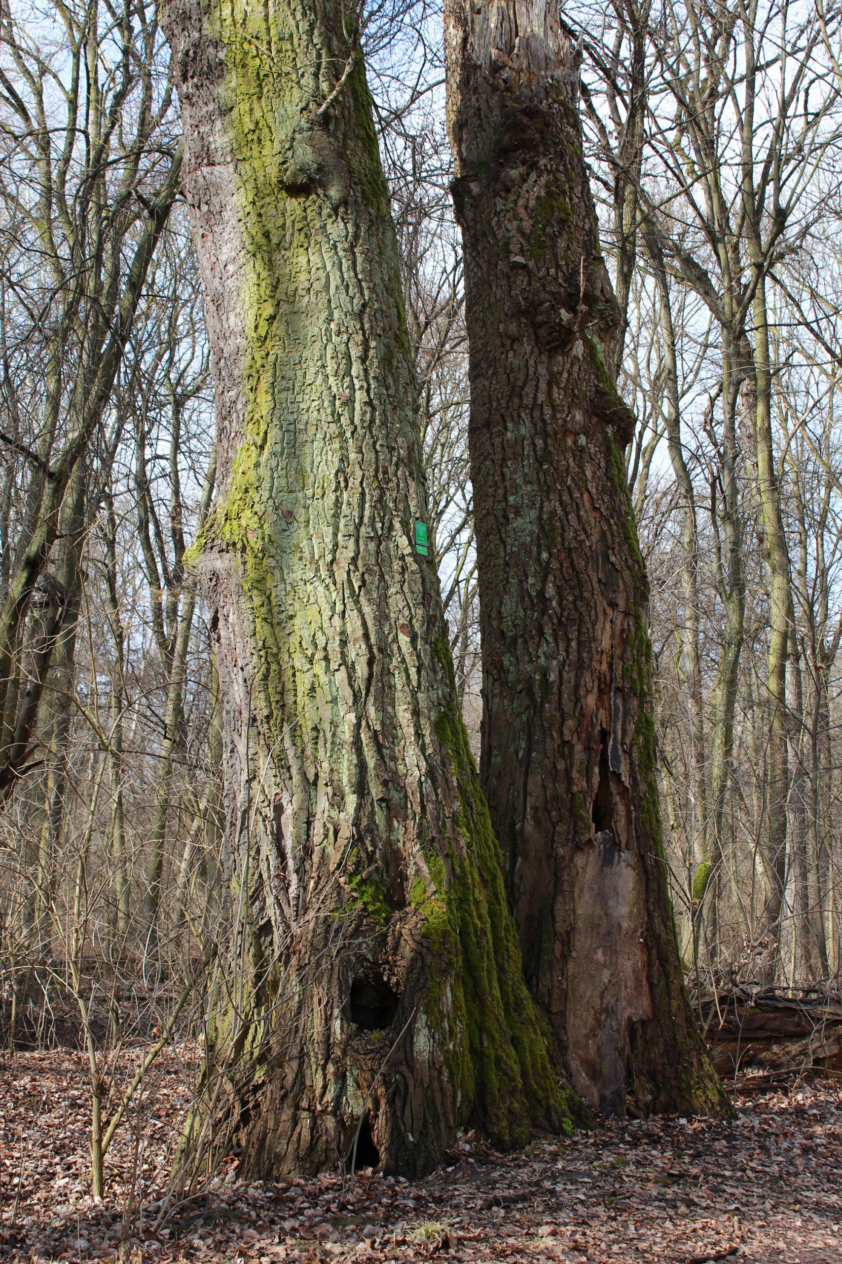 ogromne drzewo pomnik natury