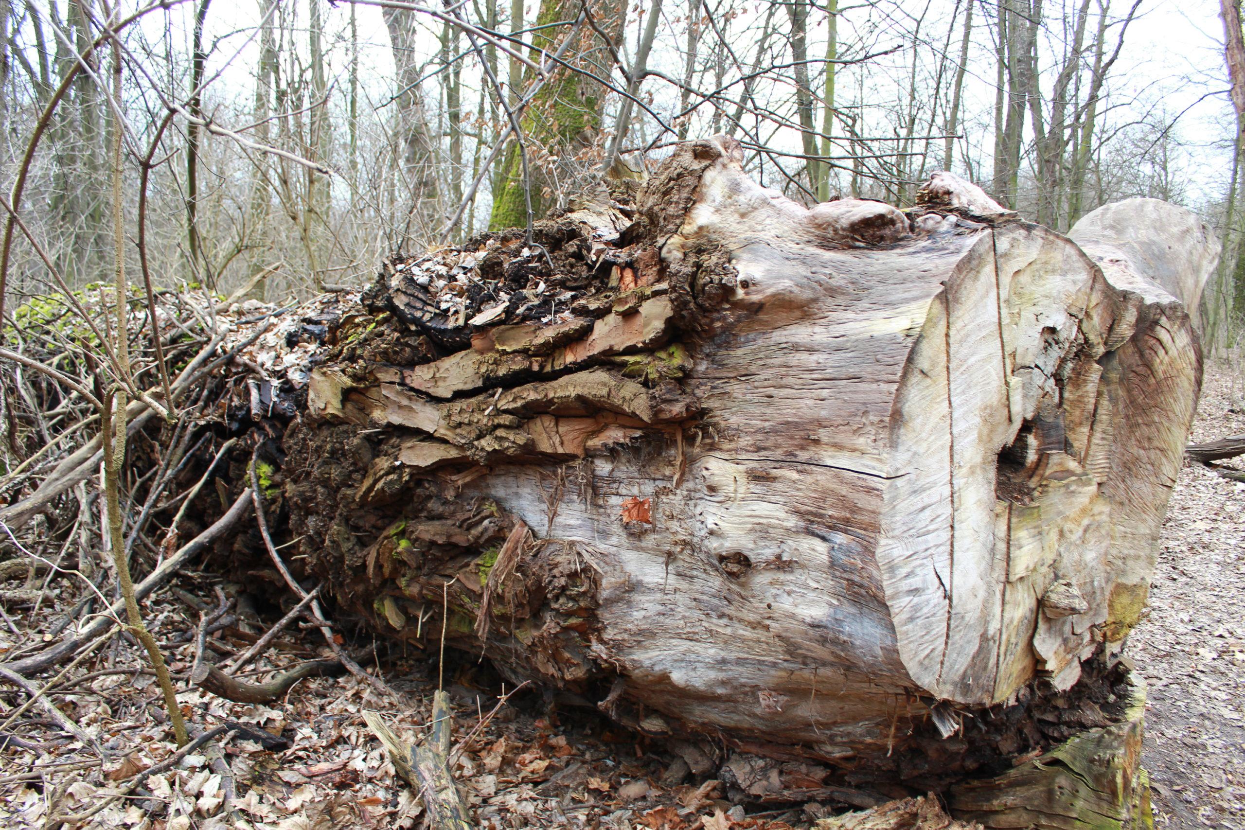 obalone drzewo