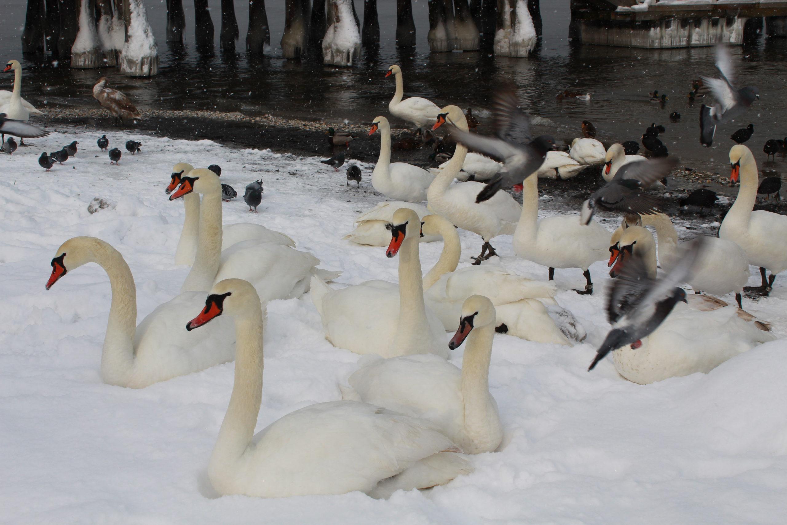 łabędzie i gołębie na zaśnieżonej plaży