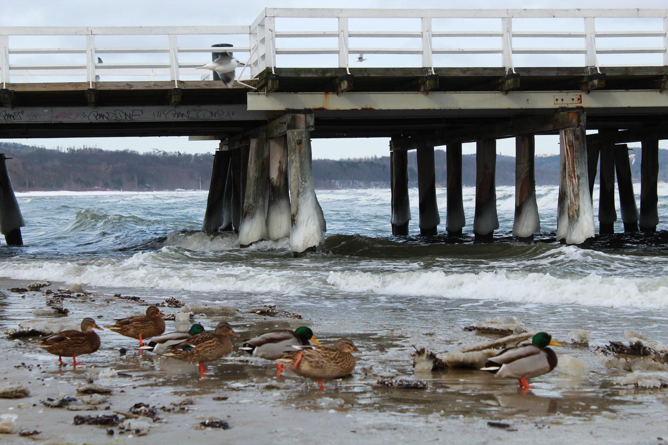 kaczki na zaśnieżonej plaży
